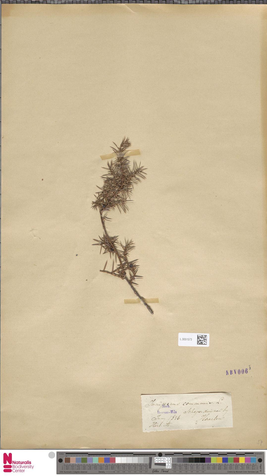 L.3051573 | Juniperus communis L.