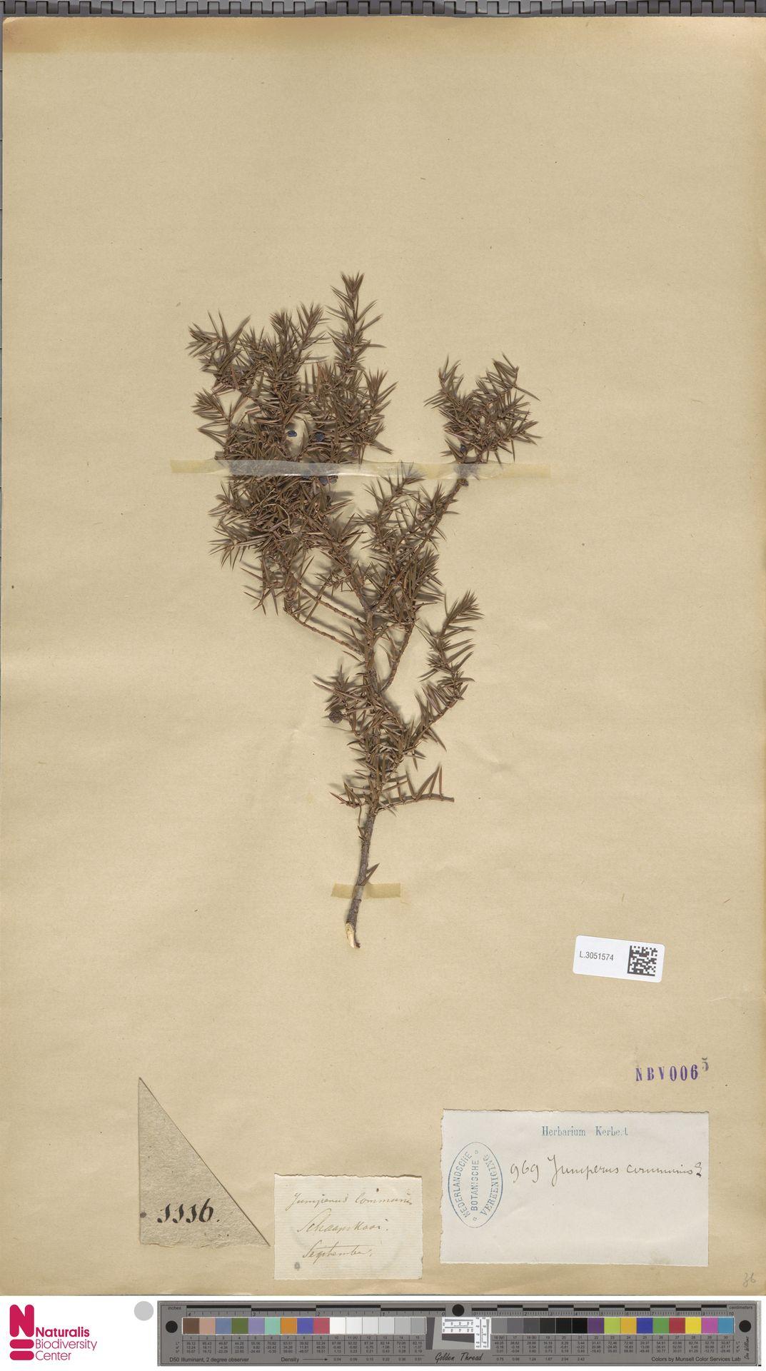 L.3051574   Juniperus communis L.