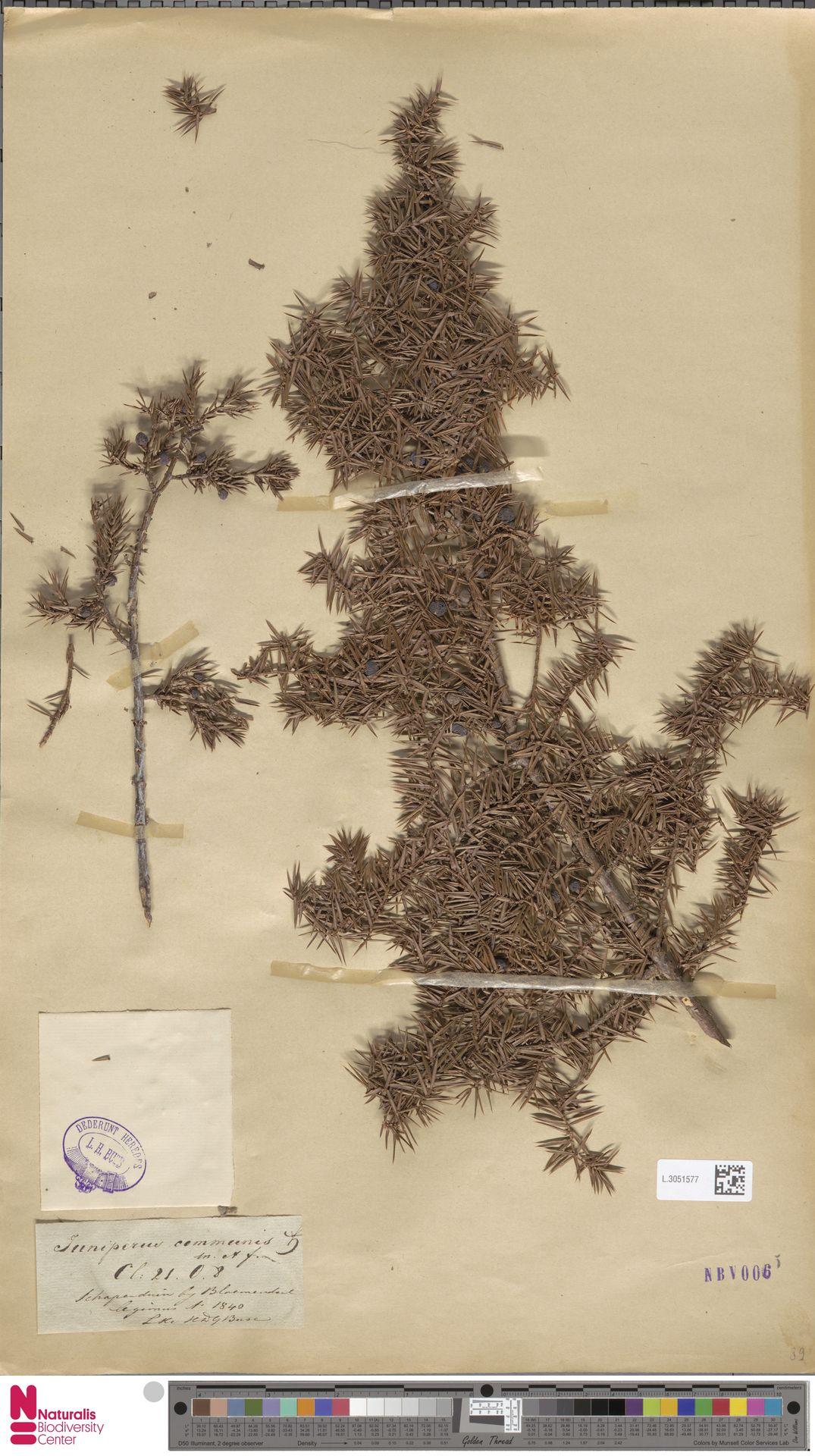 L.3051577   Juniperus communis L.