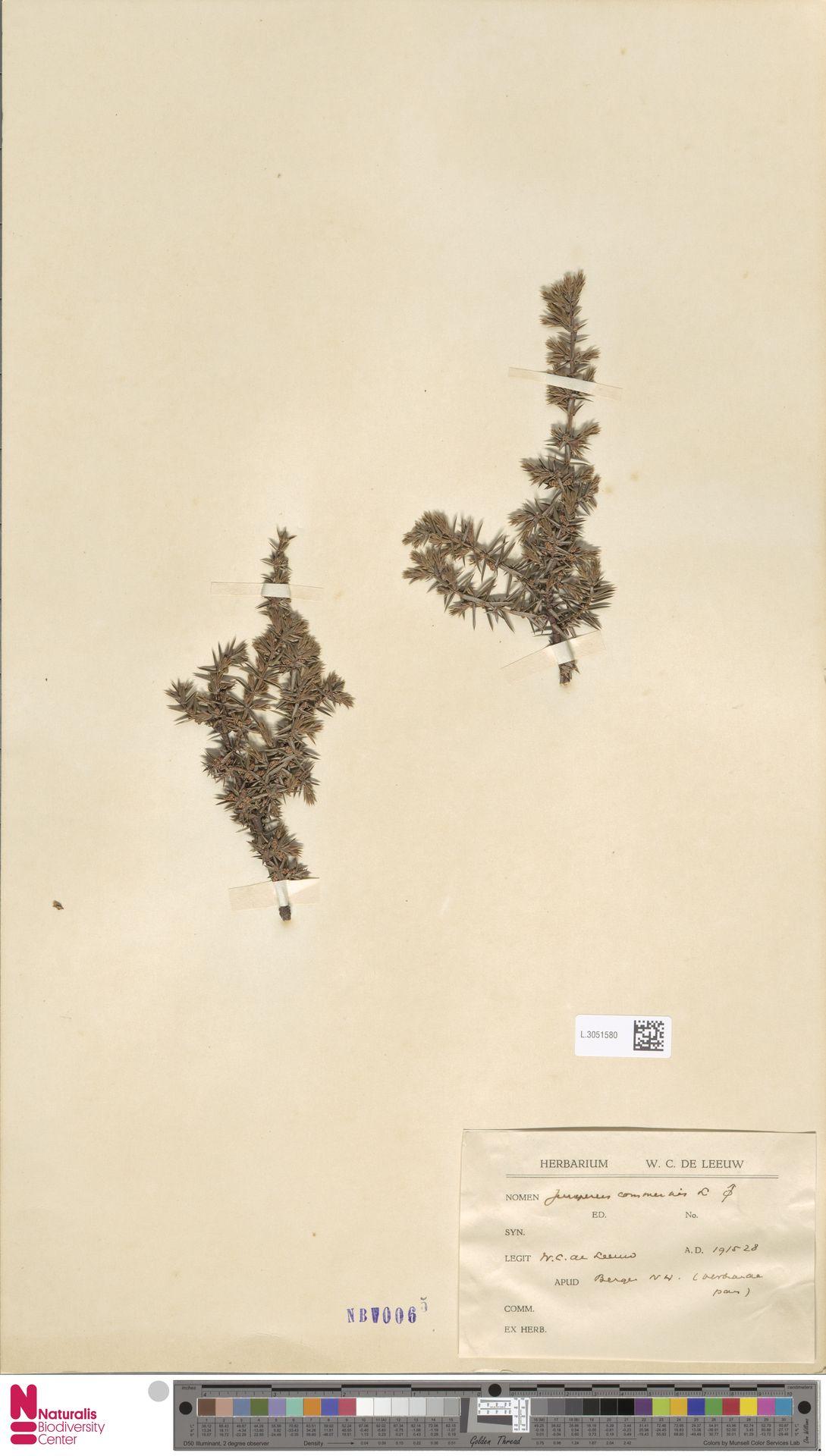L.3051580 | Juniperus communis L.