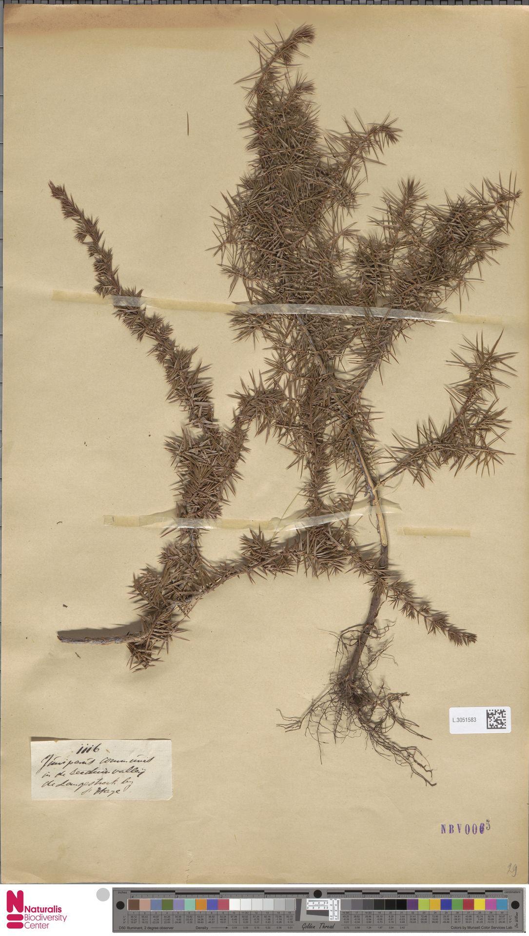 L.3051583 | Juniperus communis L.