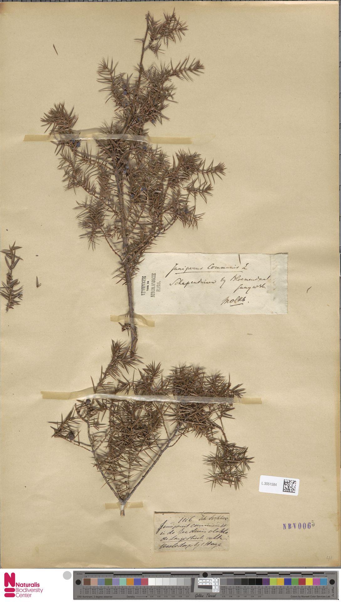 L.3051584   Juniperus communis L.