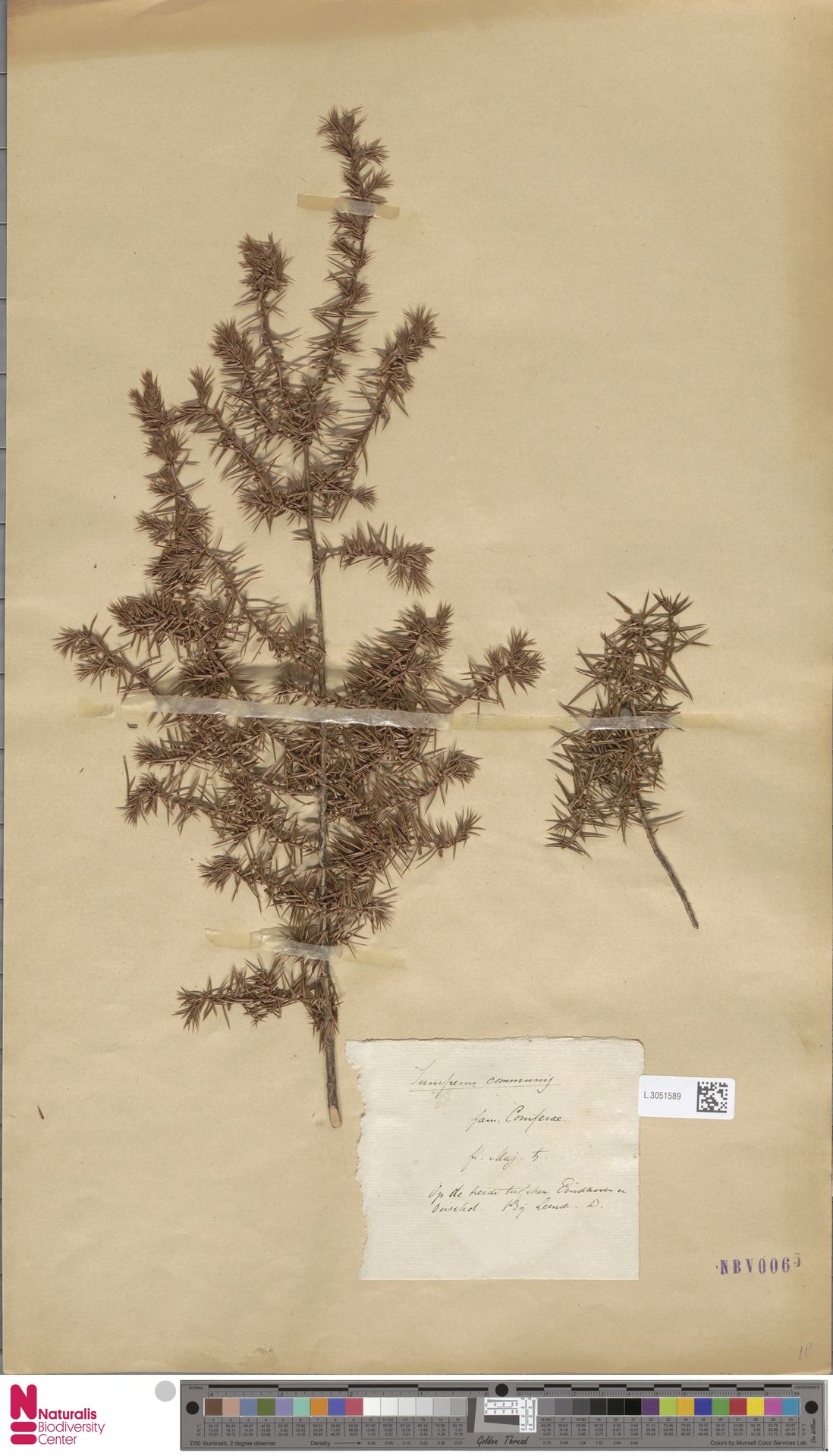 L.3051589 | Juniperus communis L.