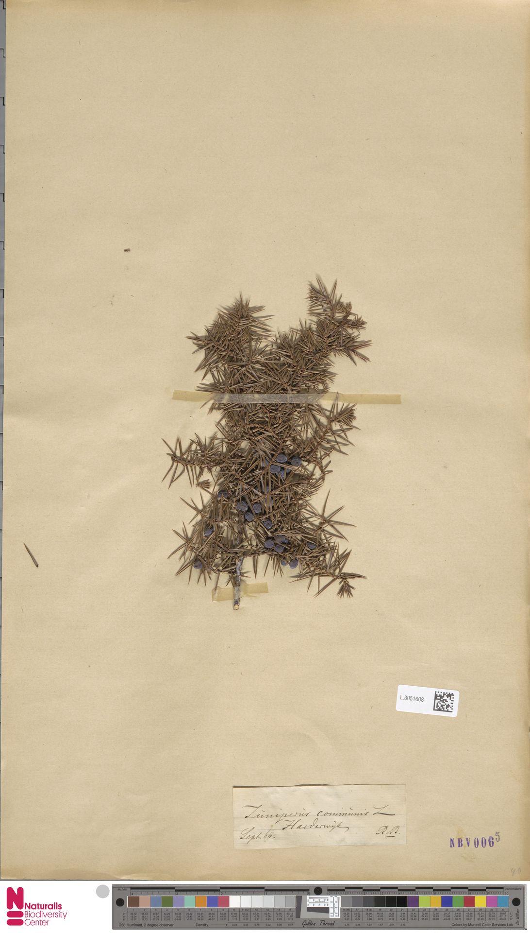 L.3051608   Juniperus communis L.