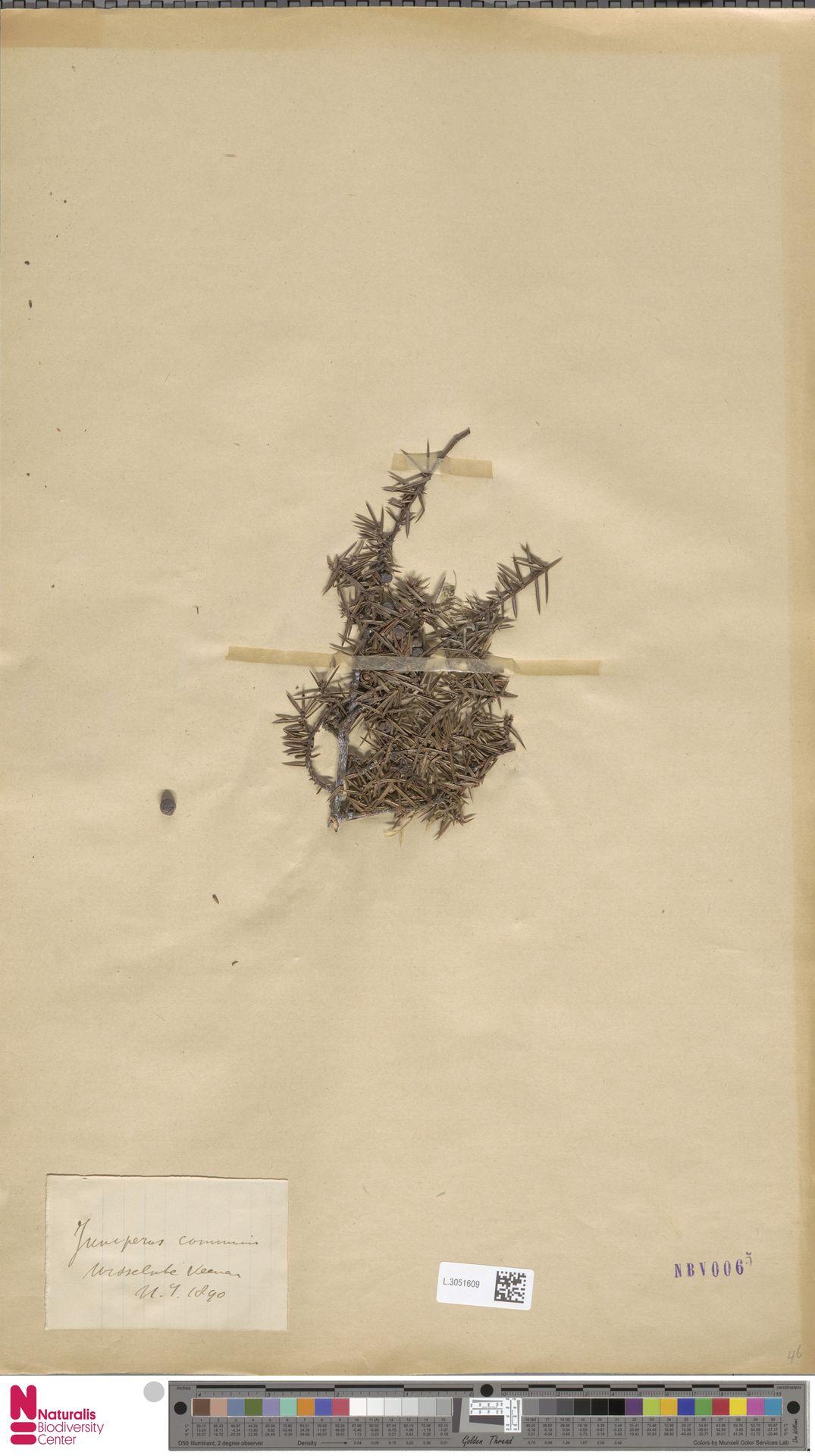 L.3051609 | Juniperus communis L.