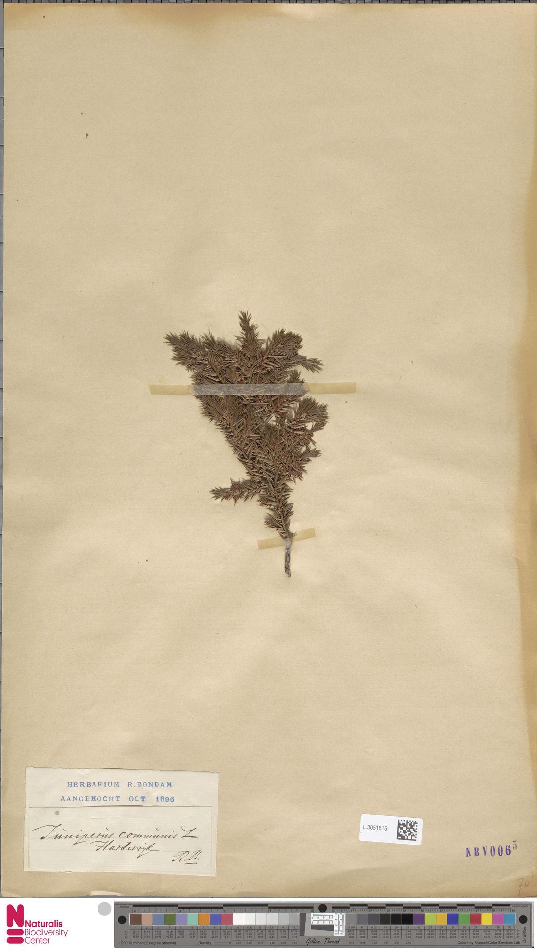 L.3051615 | Juniperus communis L.