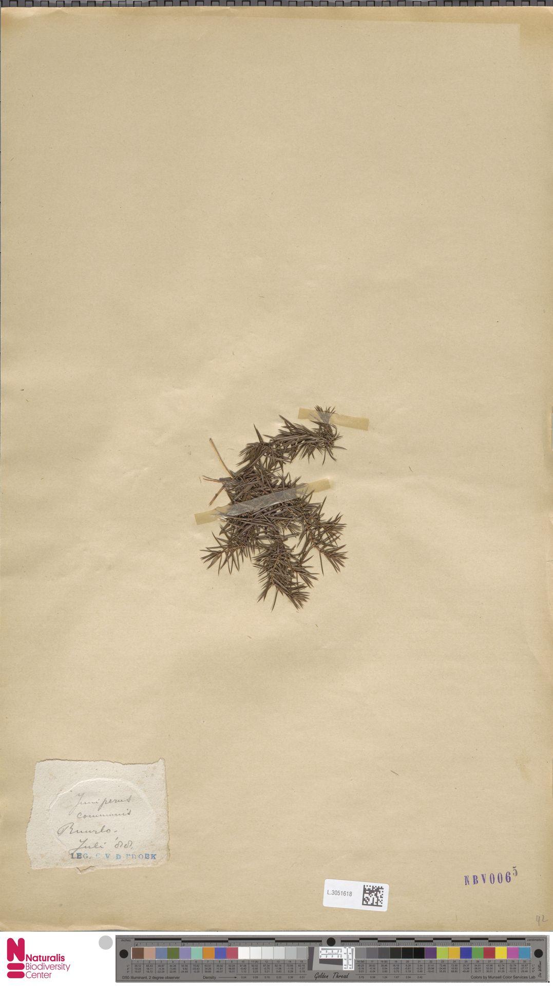 L.3051618 | Juniperus communis L.