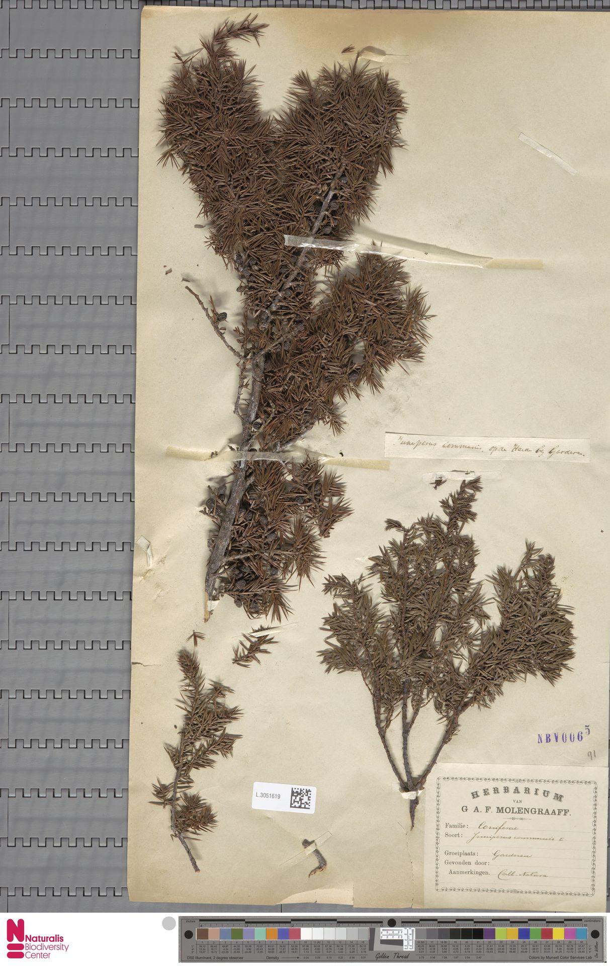 L.3051619 | Juniperus communis L.