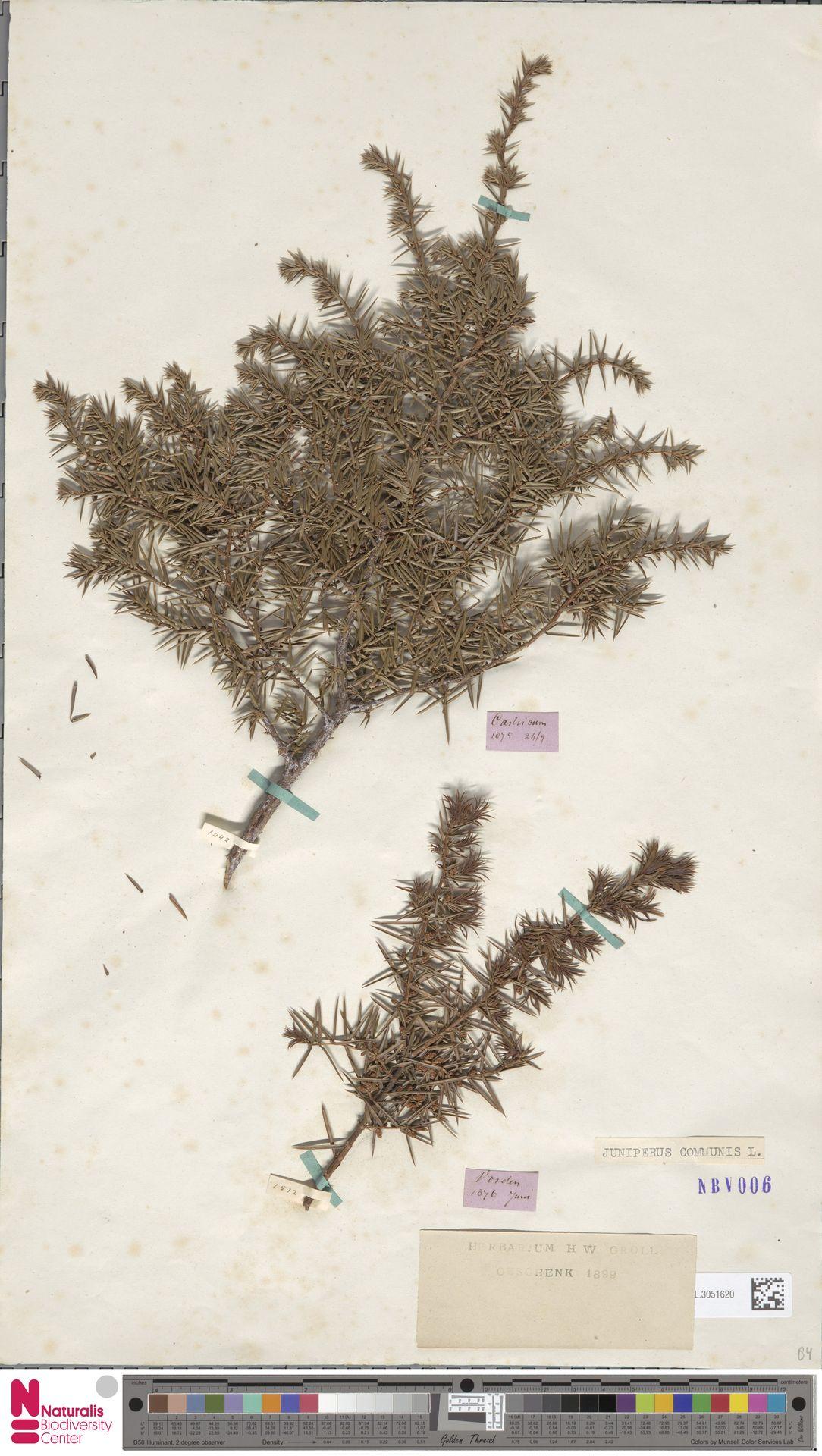 L.3051620 | Juniperus communis L.