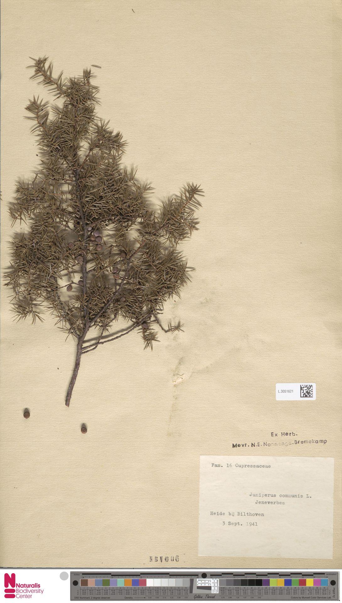 L.3051621 | Juniperus communis L.