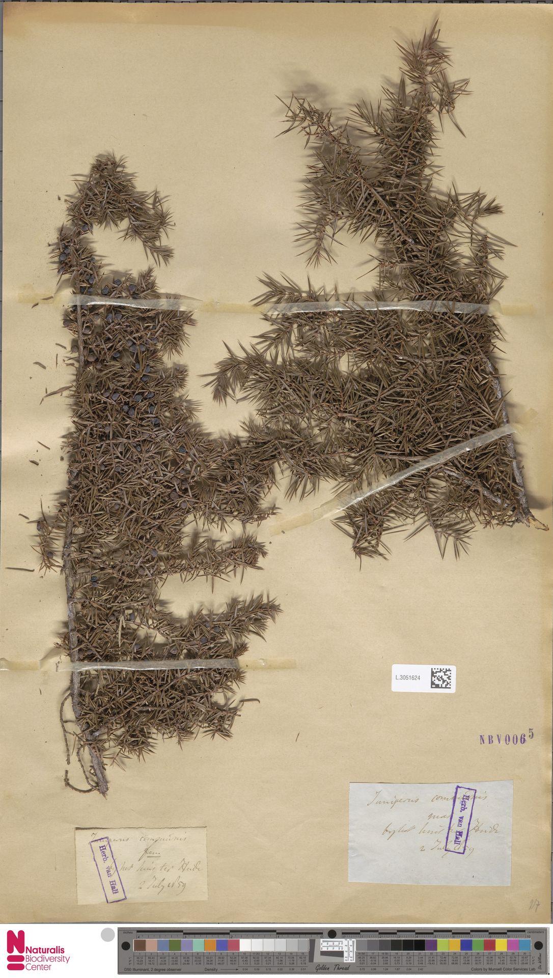 L.3051624 | Juniperus communis L.
