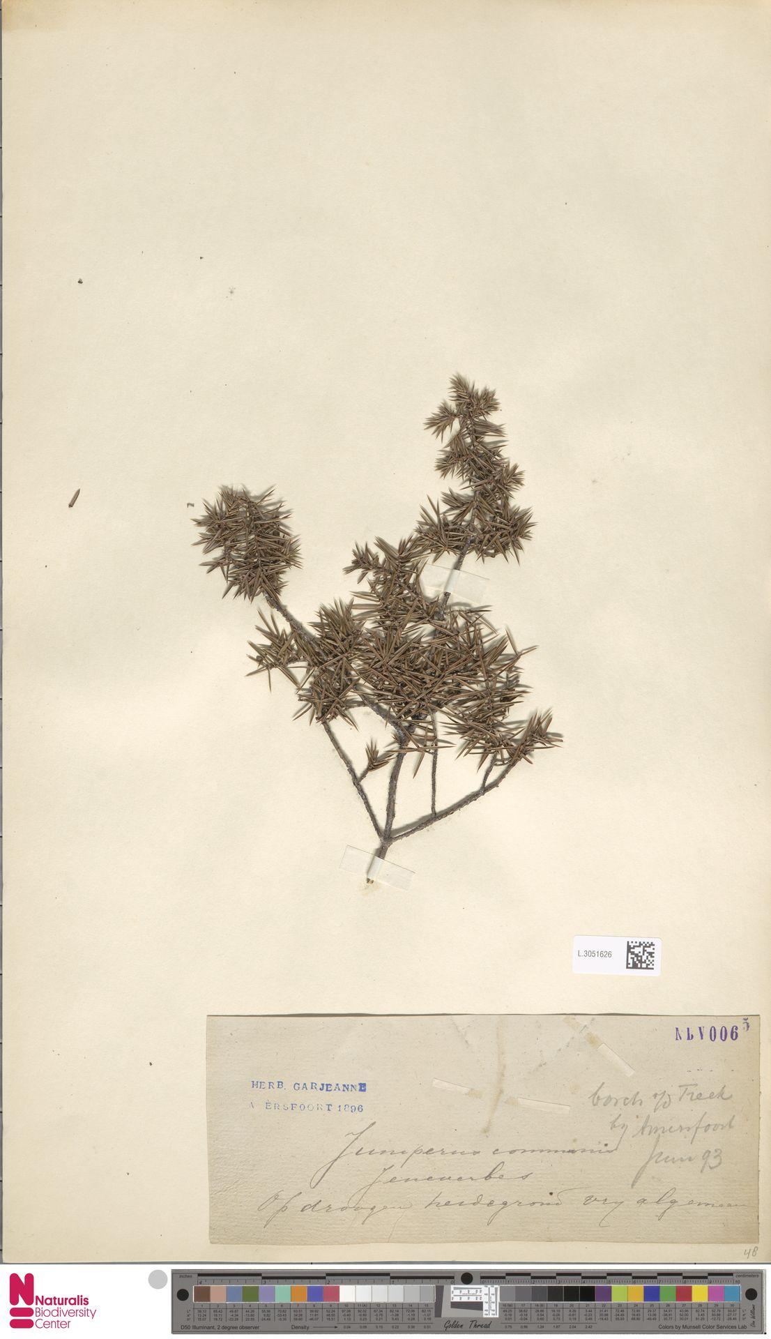L.3051626 | Juniperus communis L.