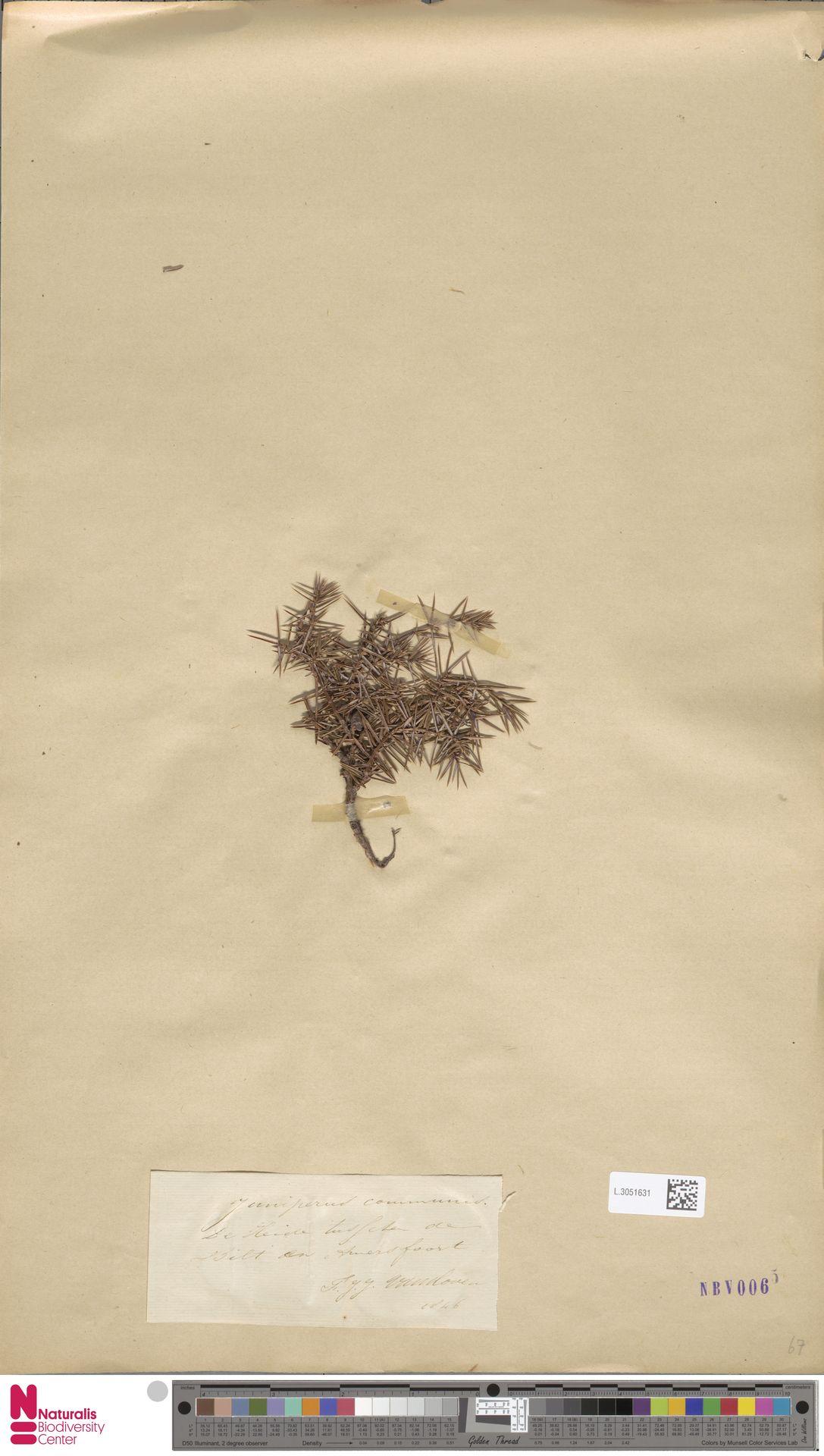 L.3051631 | Juniperus communis L.
