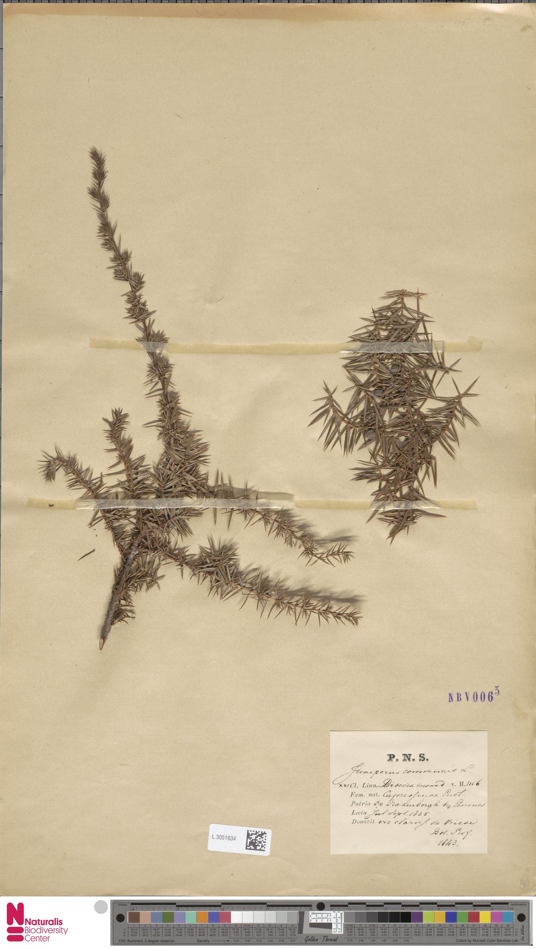 L.3051634 | Juniperus communis L.