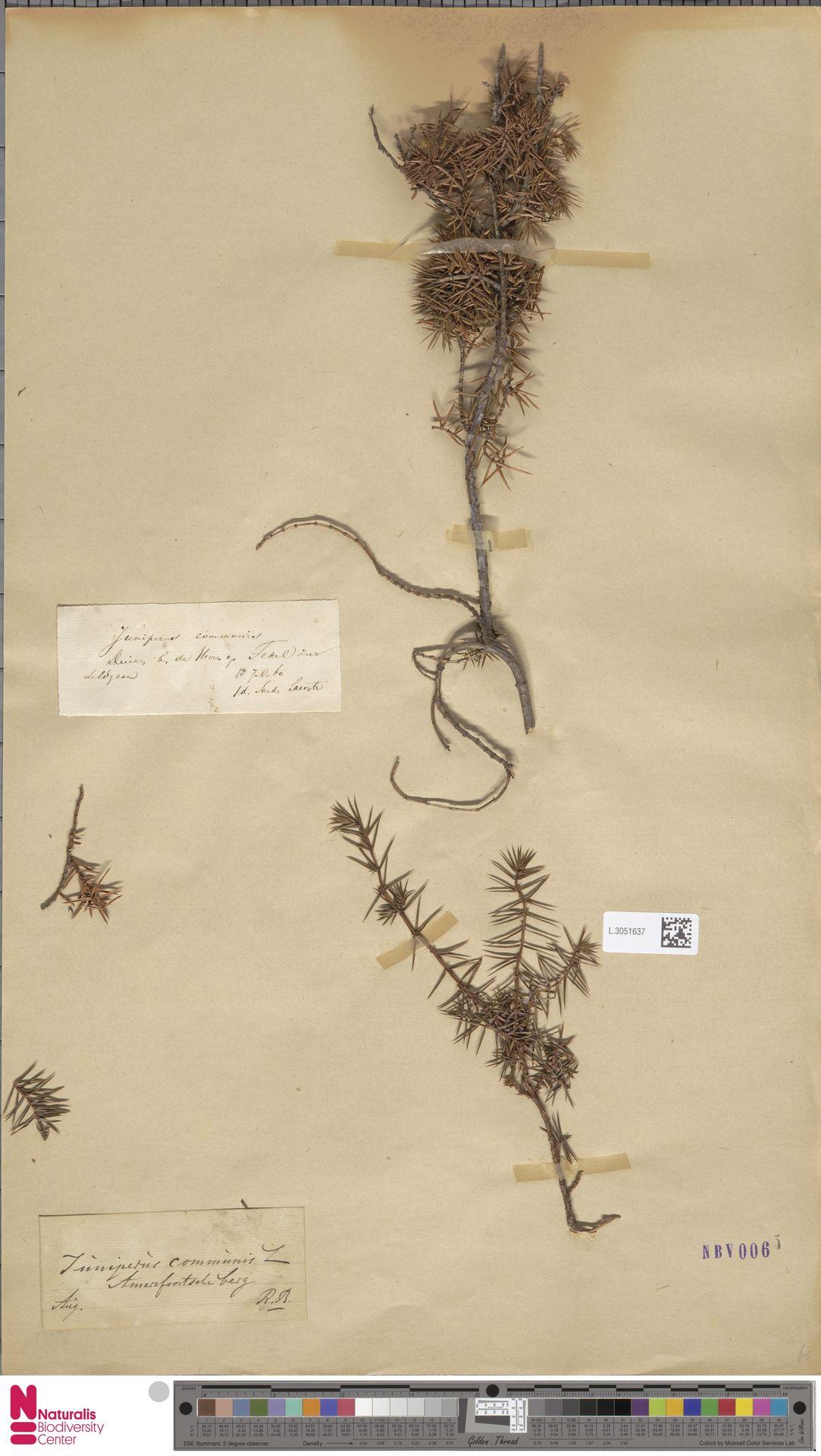 L.3051637 | Juniperus communis L.