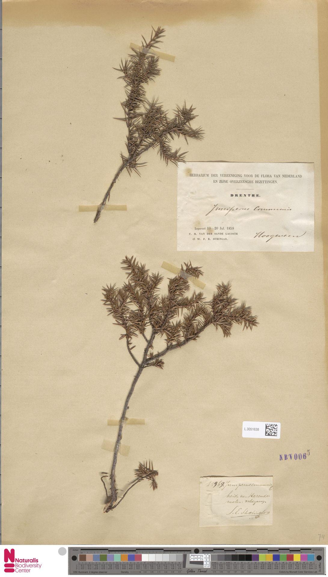 L.3051638 | Juniperus communis L.