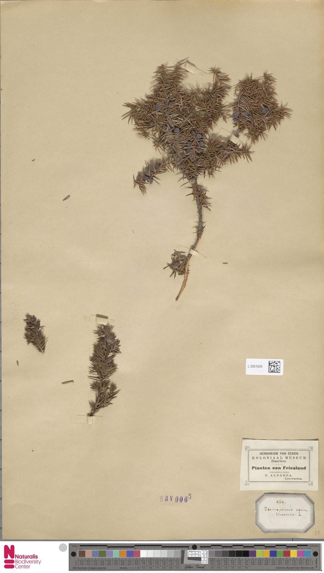 L.3051639   Juniperus communis L.