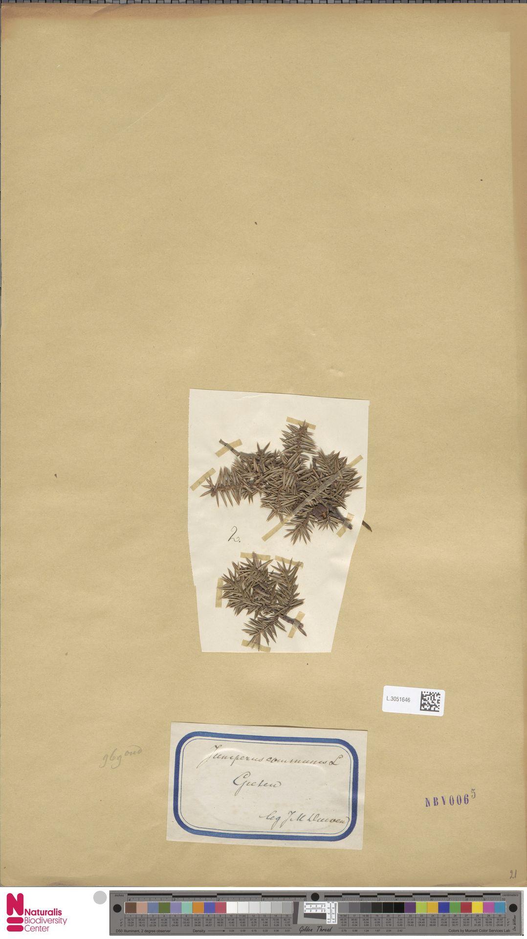 L.3051646 | Juniperus communis L.