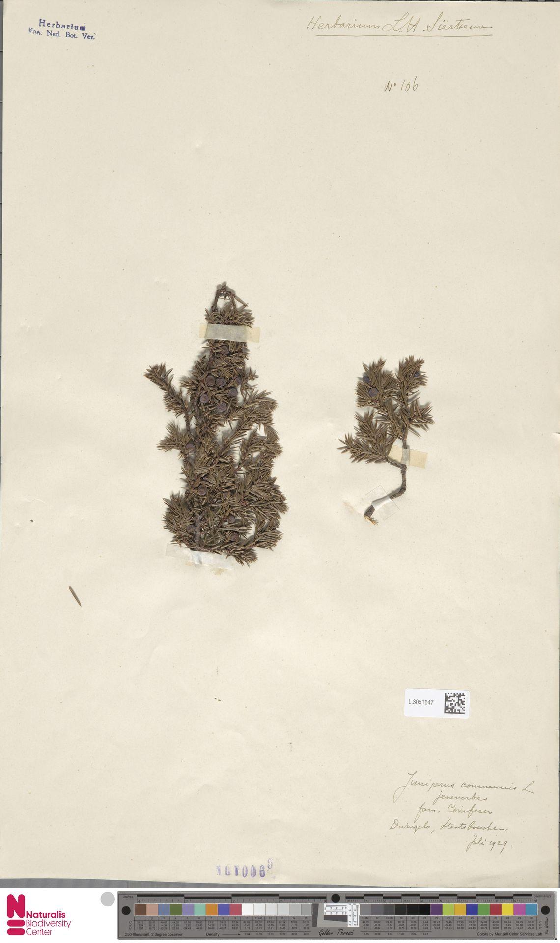L.3051647 | Juniperus communis L.