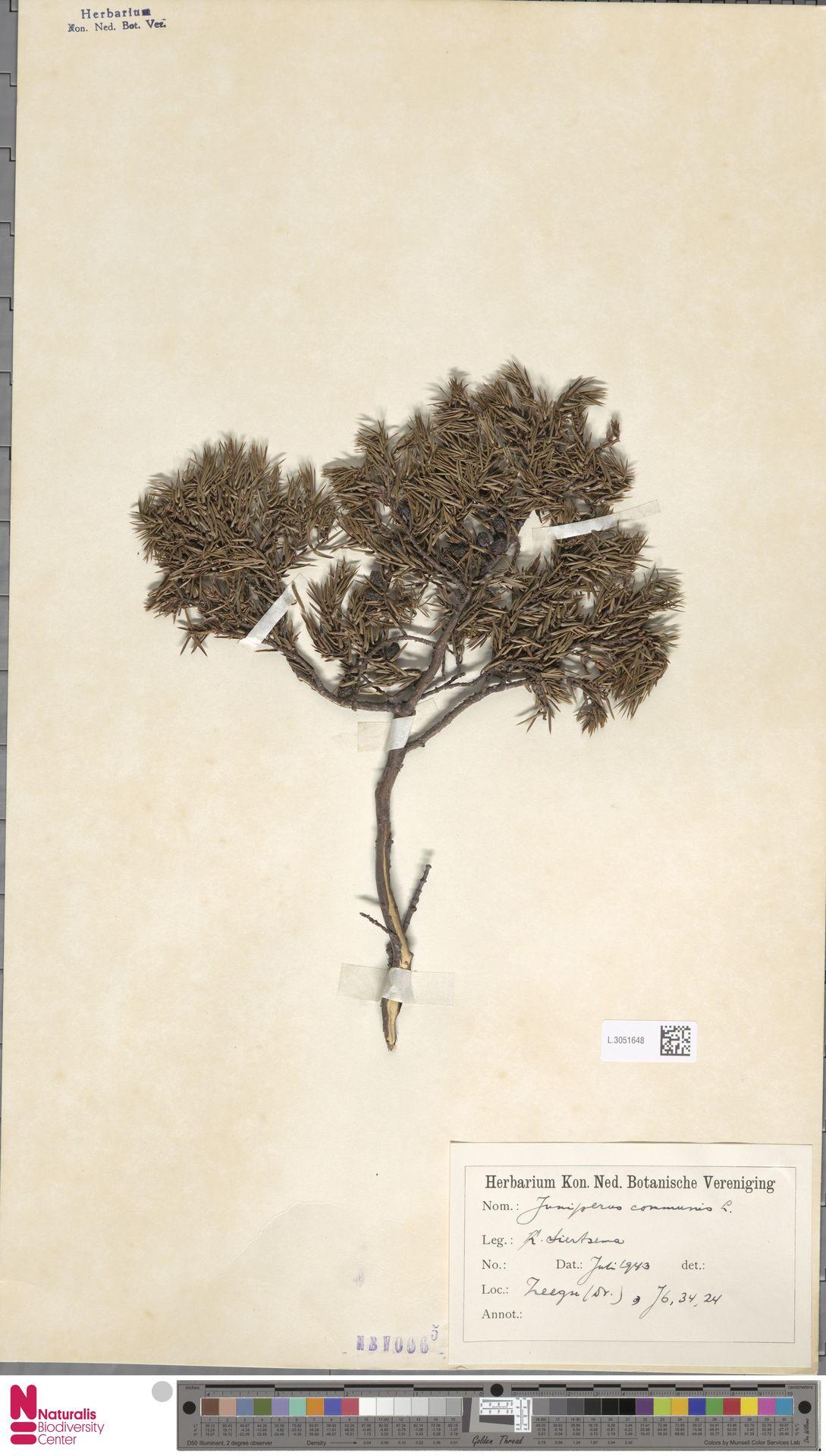 L.3051648 | Juniperus communis L.