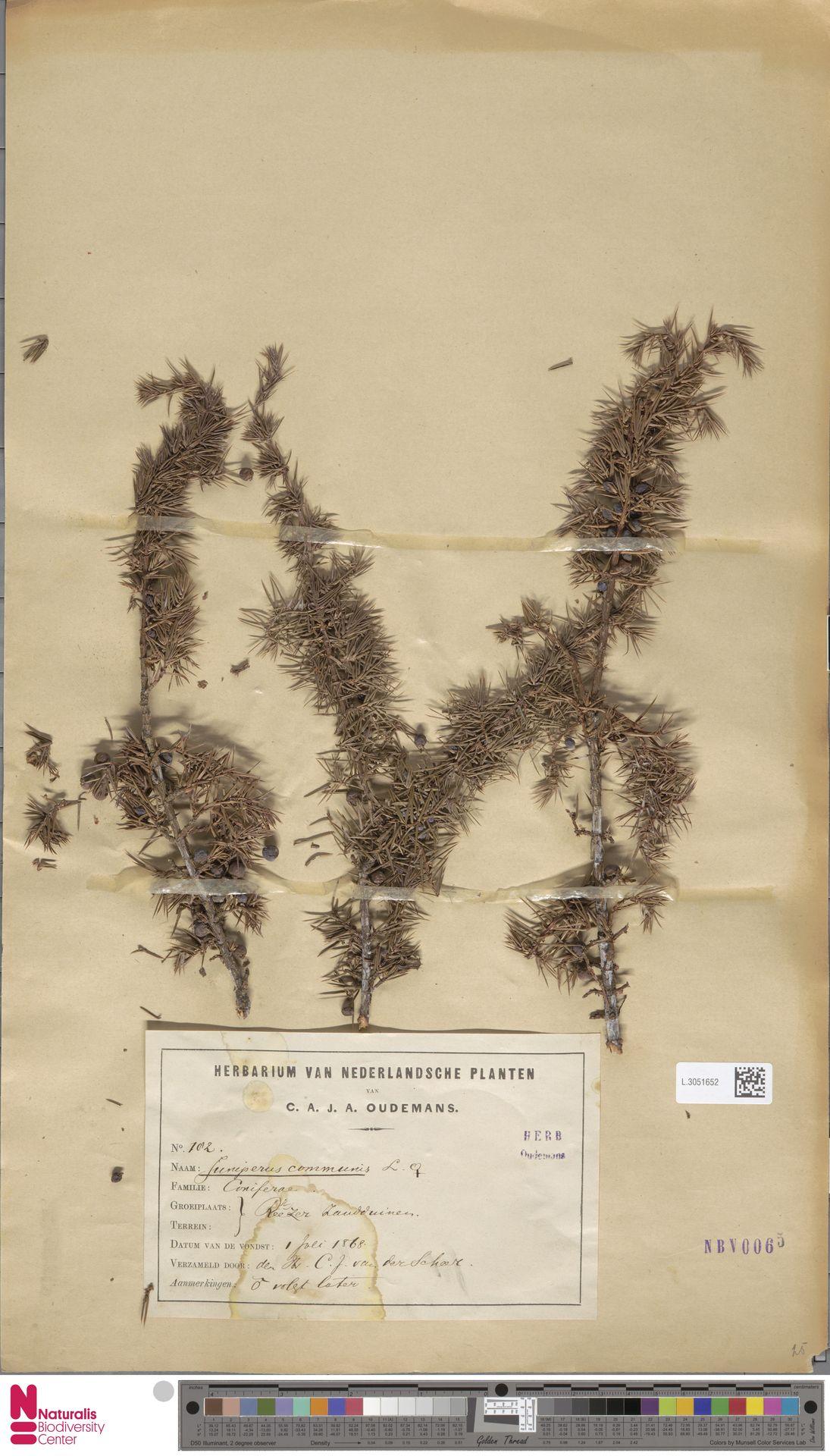 L.3051652 | Juniperus communis L.