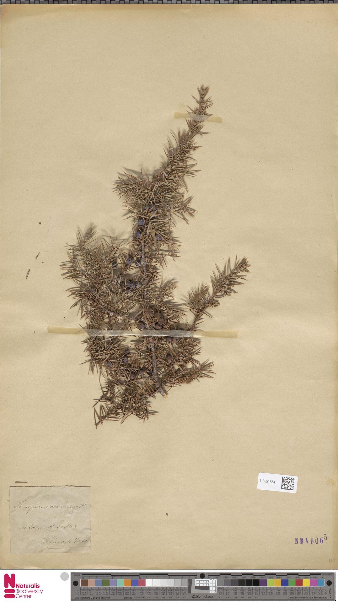 L.3051654   Juniperus communis L.
