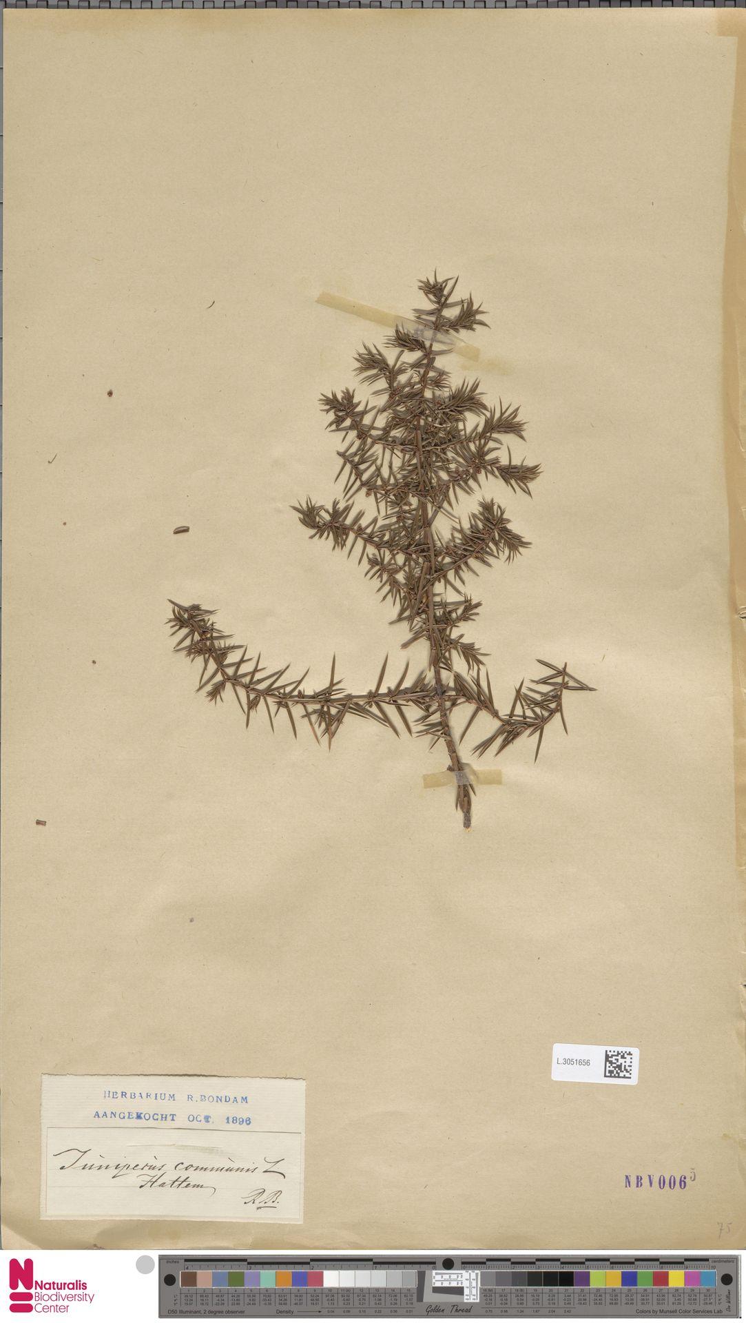 L.3051656 | Juniperus communis L.