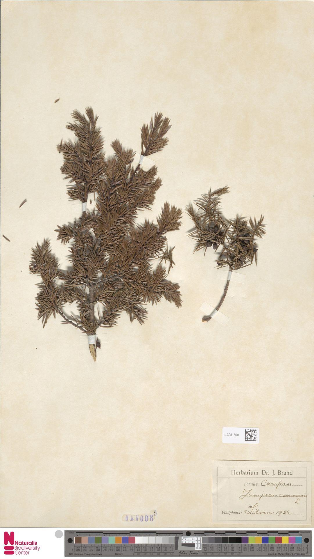 L.3051660 | Juniperus communis L.