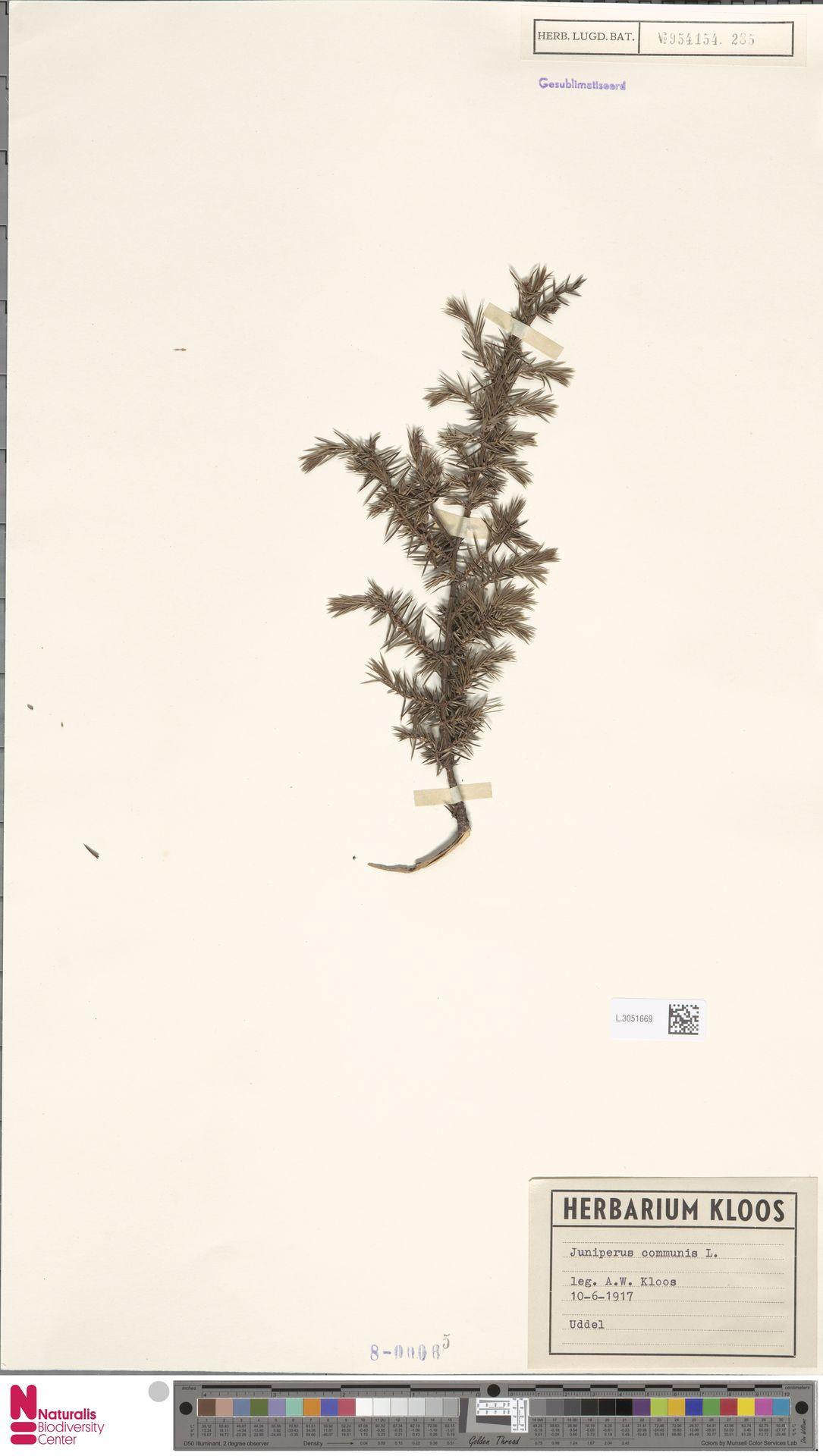 L.3051669 | Juniperus communis L.