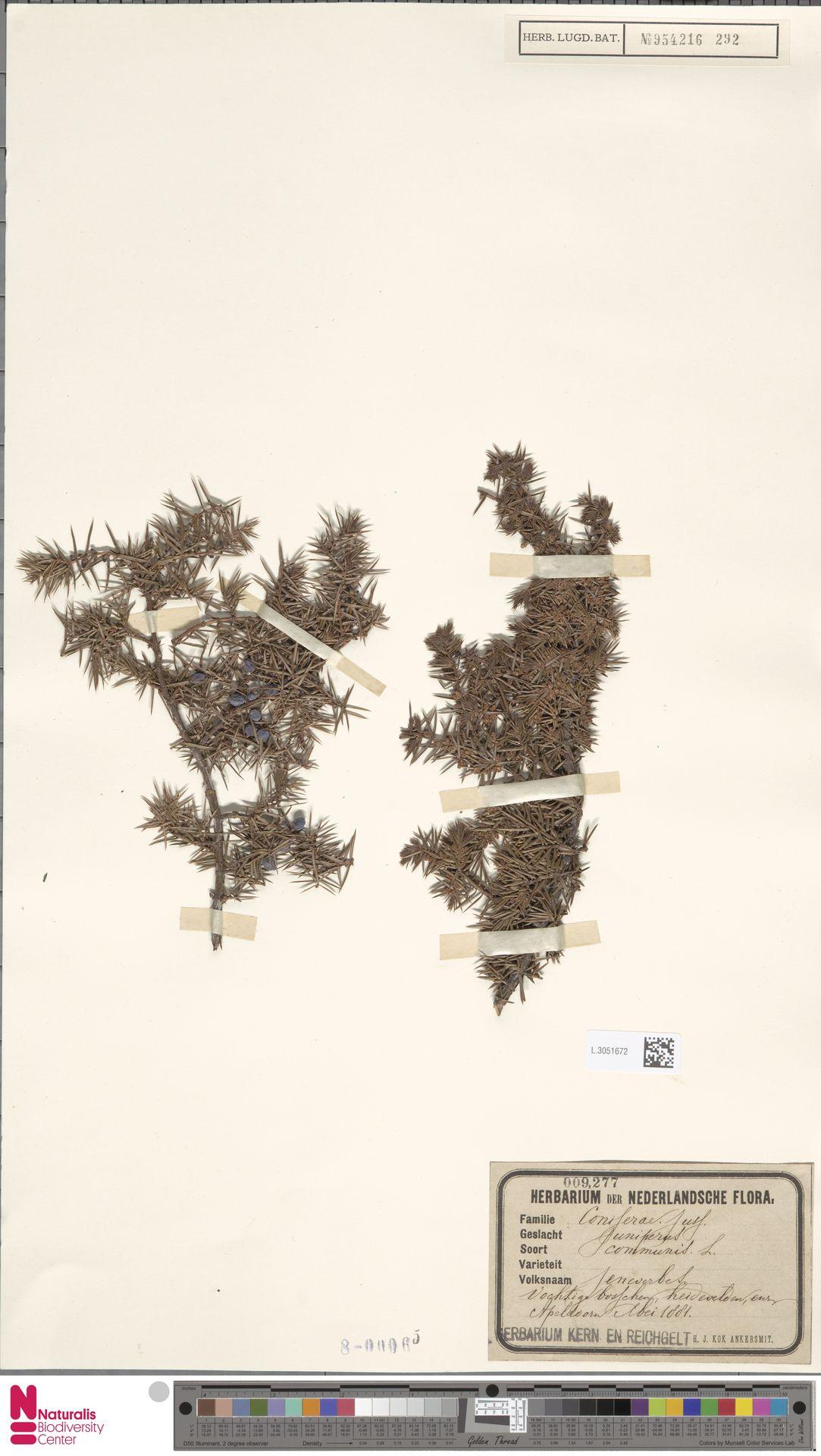 L.3051672 | Juniperus communis L.