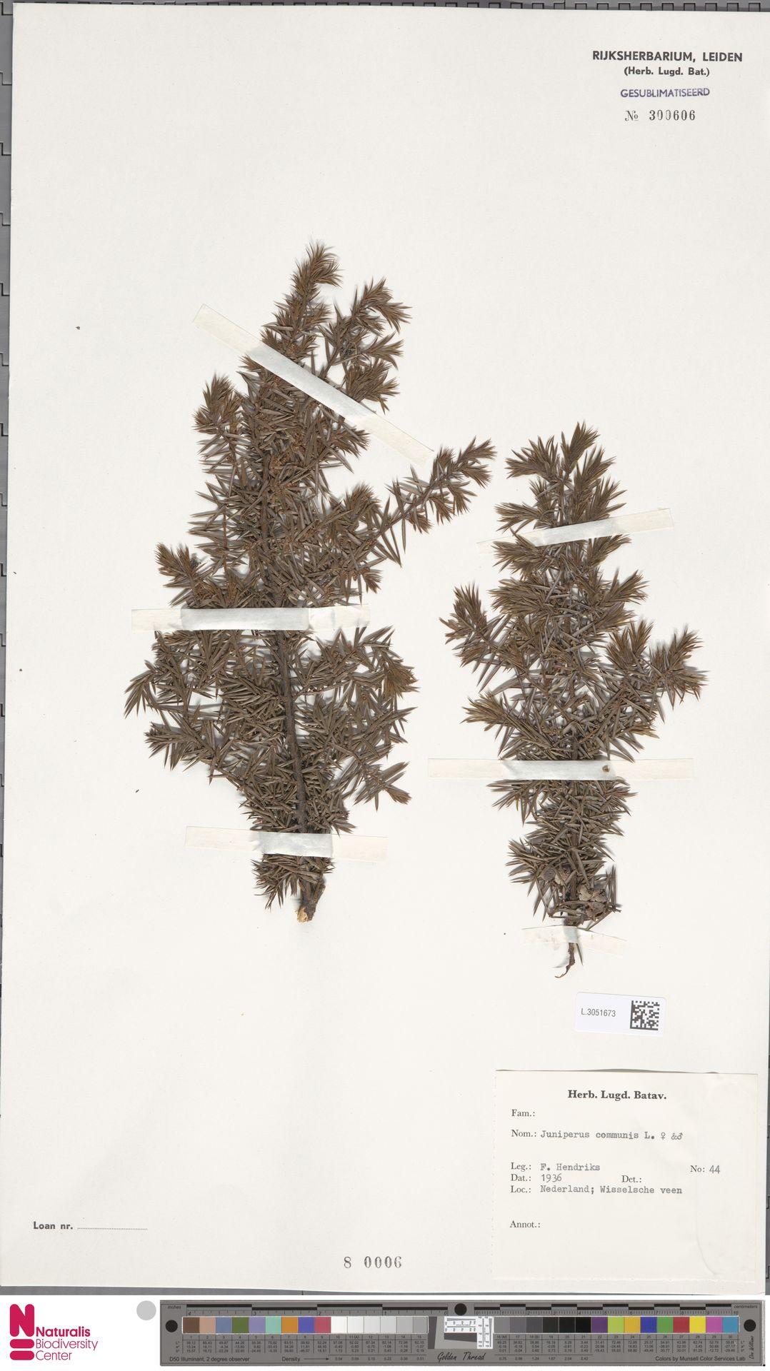 L.3051673   Juniperus communis L.