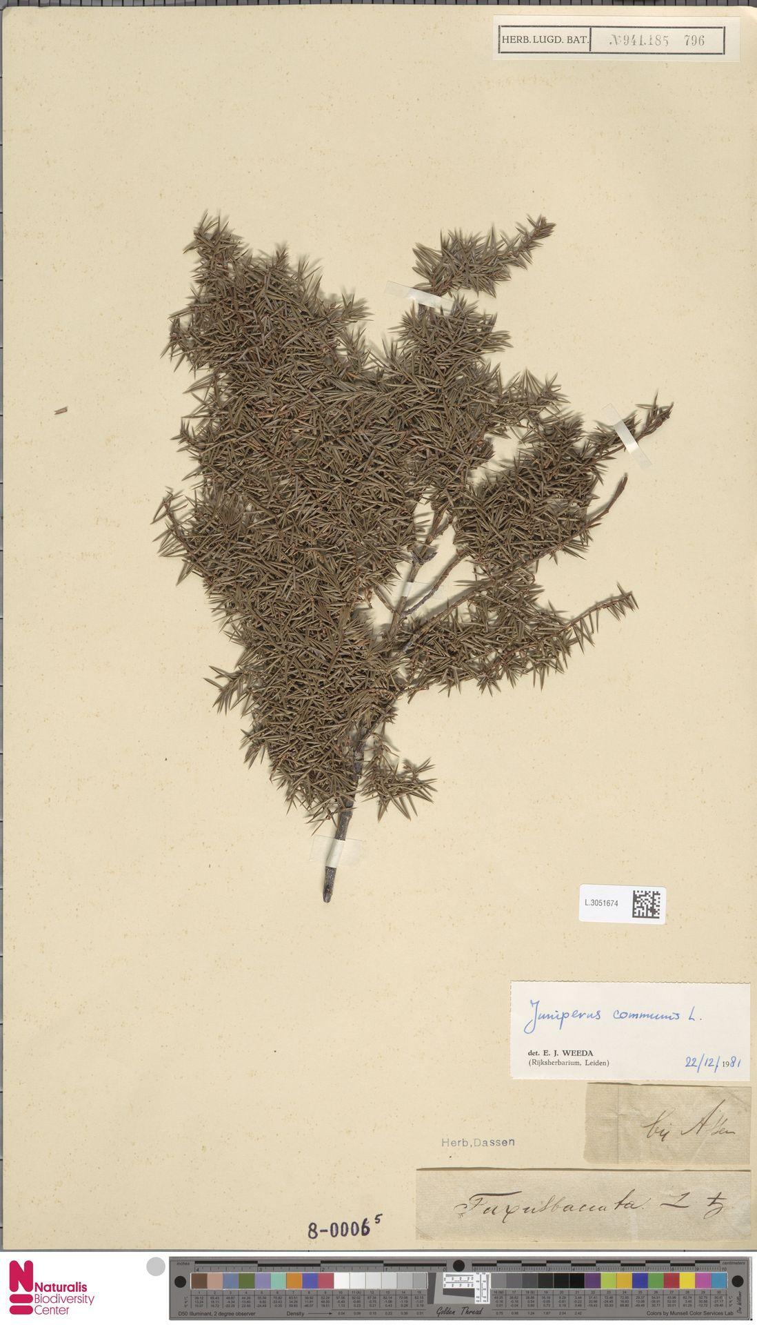 L.3051674 | Juniperus communis L.