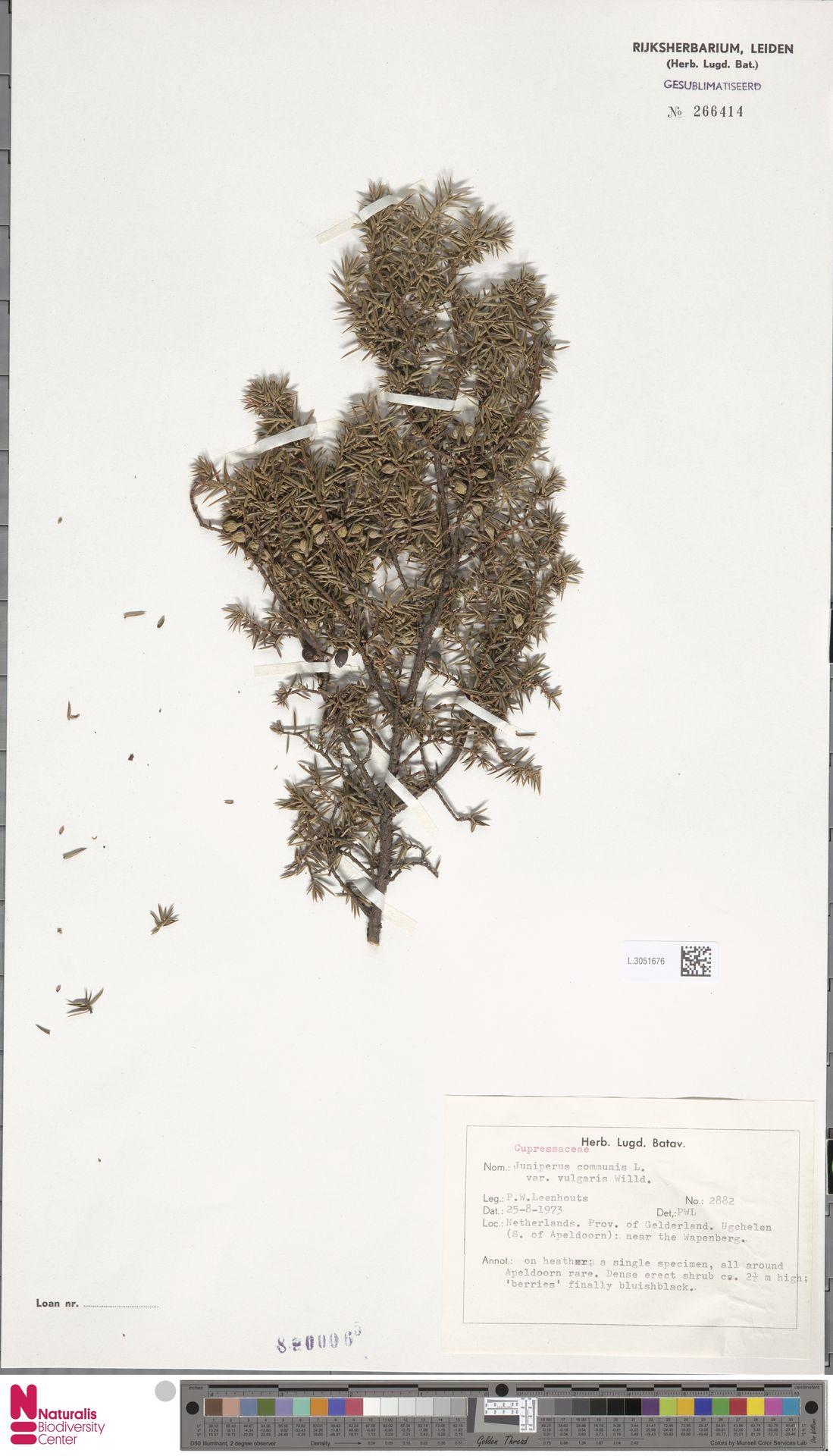 L.3051676   Juniperus communis L.