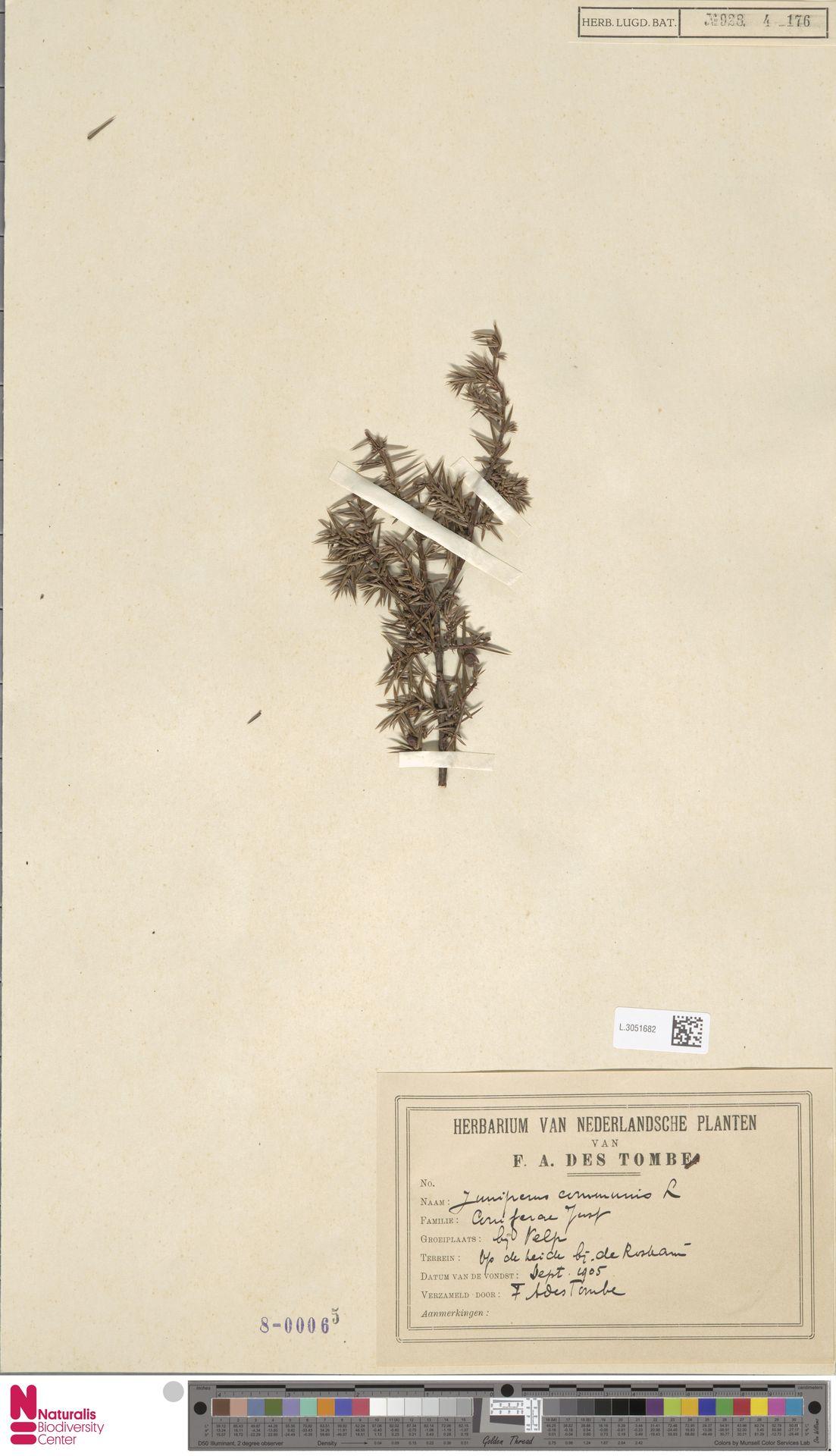 L.3051682 | Juniperus communis L.