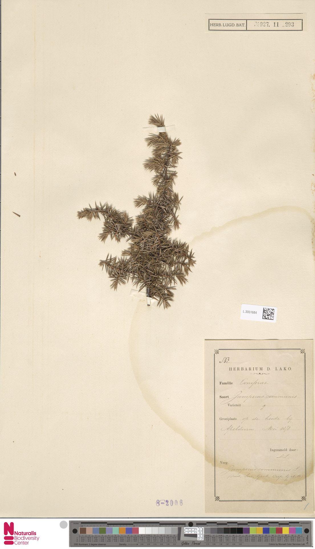 L.3051684 | Juniperus communis L.