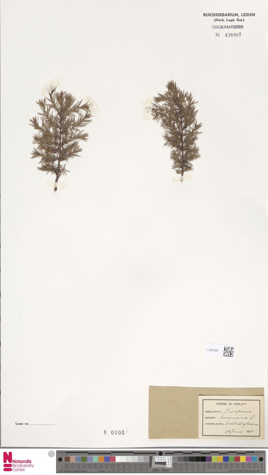 L.3051691 | Juniperus communis L.