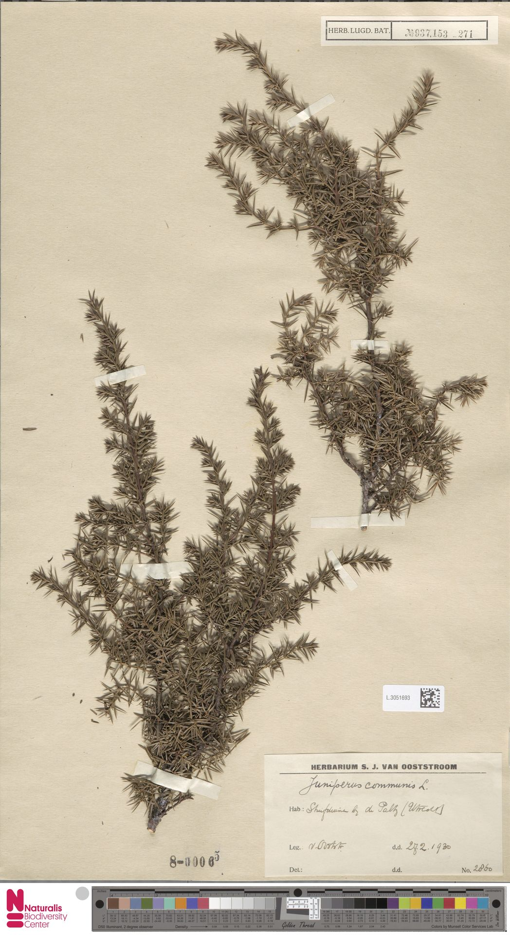 L.3051693 | Juniperus communis L.