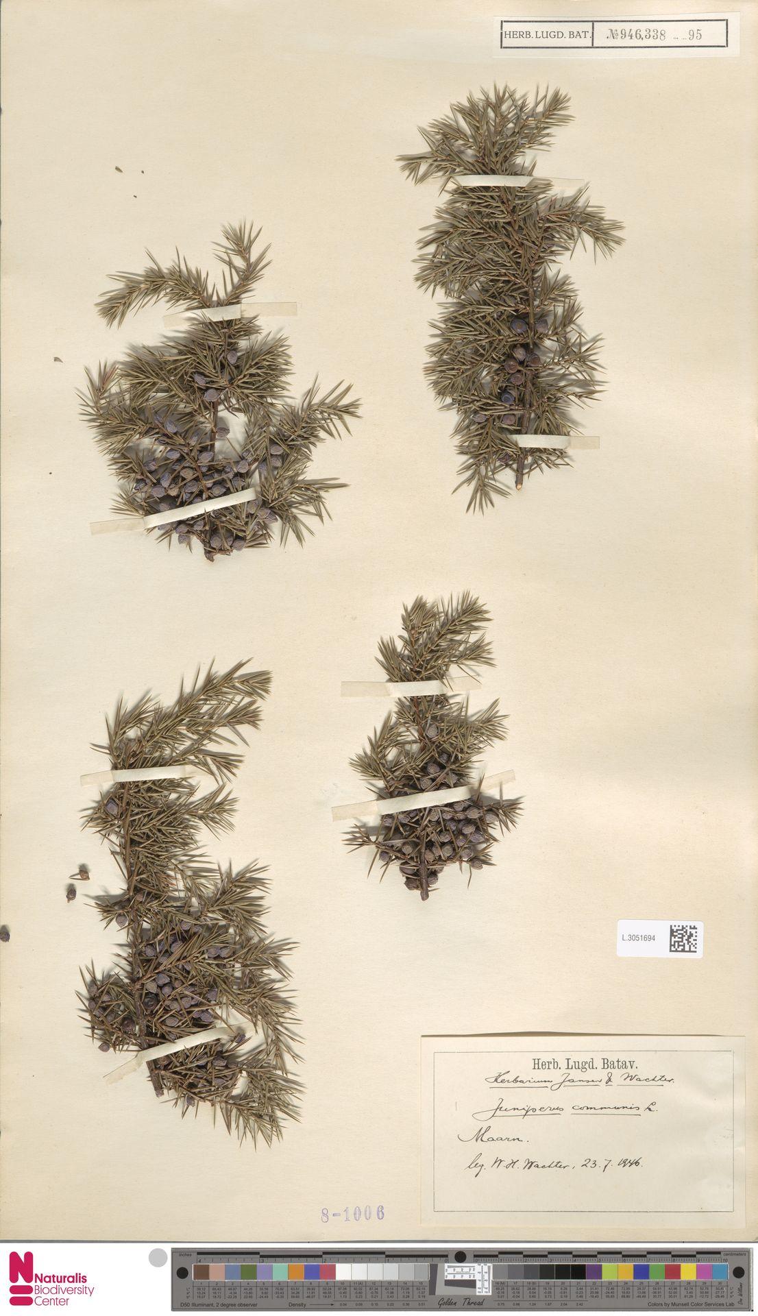 L.3051694 | Juniperus communis L.