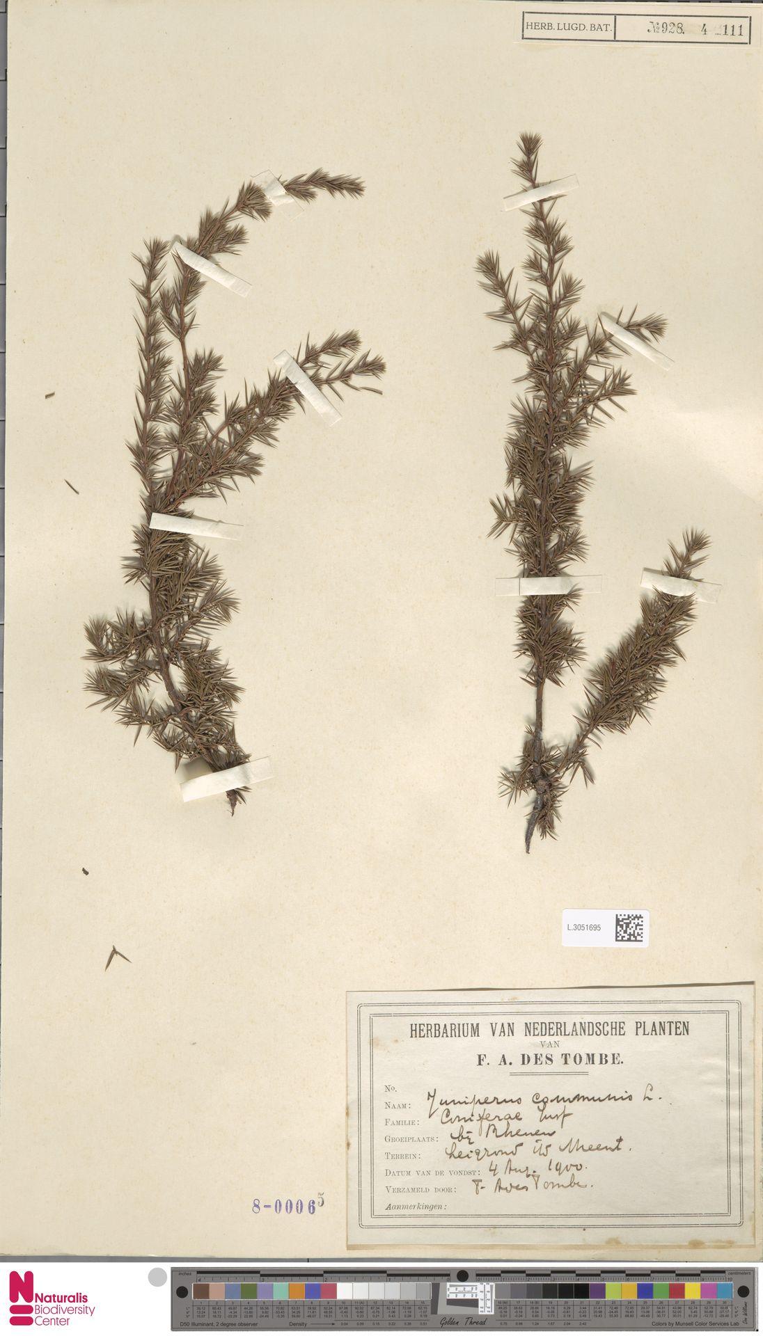 L.3051695 | Juniperus communis L.