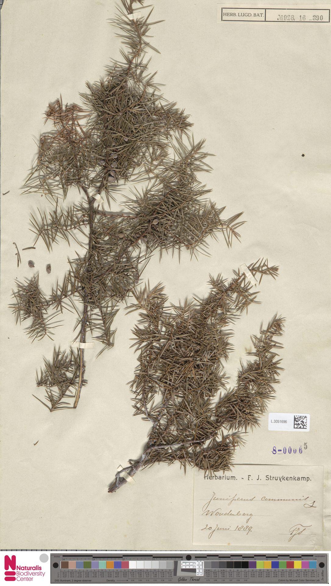 L.3051696   Juniperus communis L.