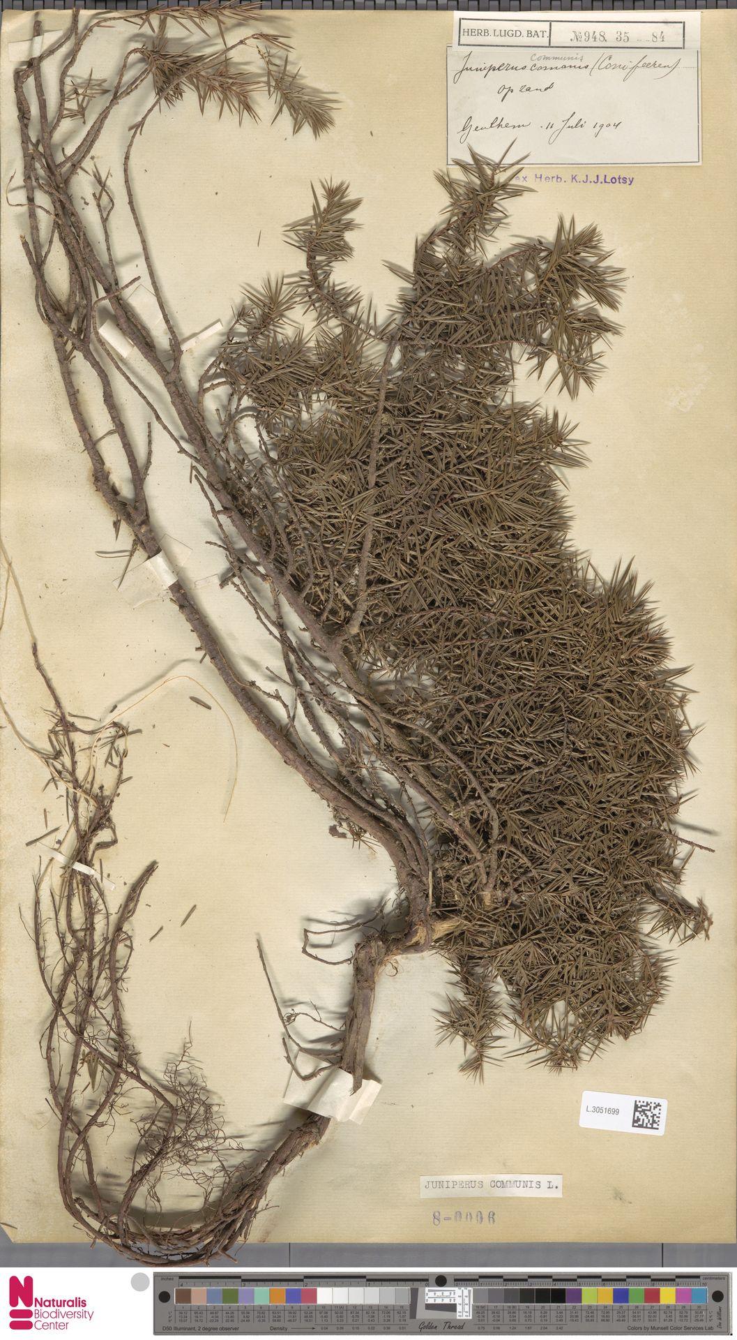 L.3051699   Juniperus communis L.