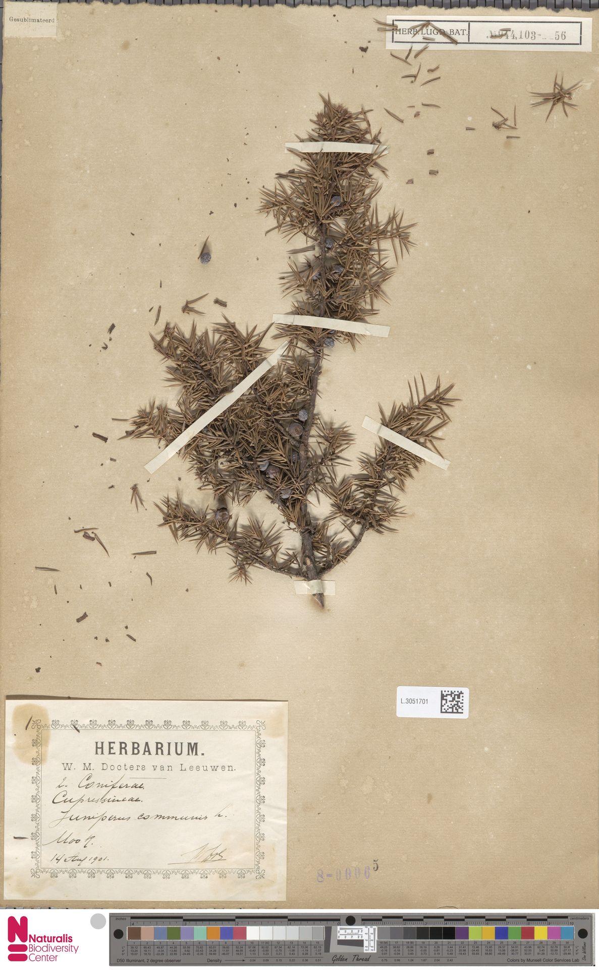 L.3051701 | Juniperus communis L.