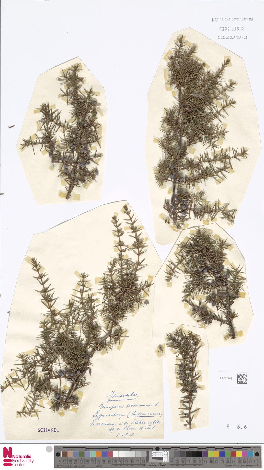 L.3051704 | Juniperus communis L.