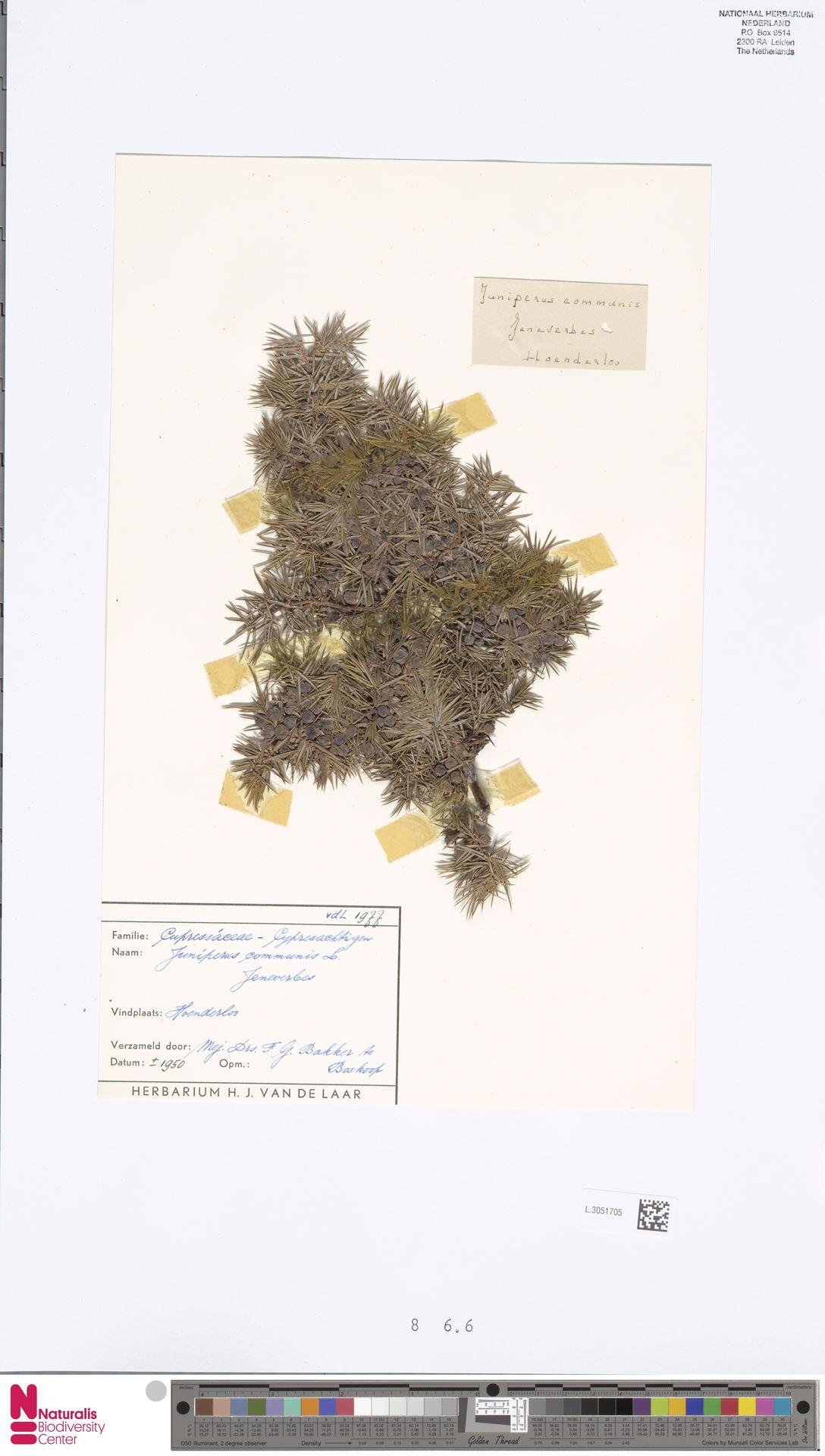 L.3051705 | Juniperus communis L.