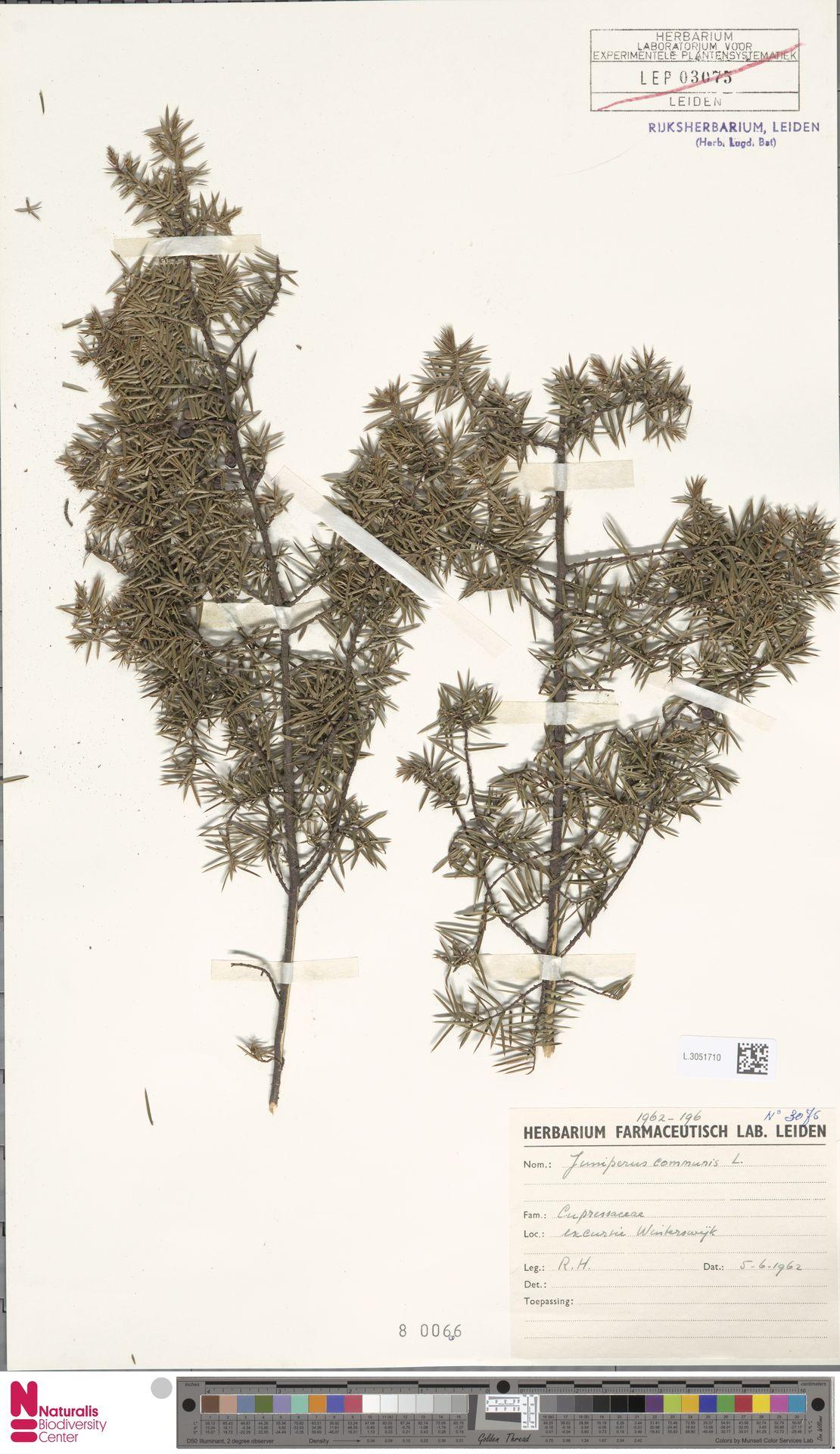 L.3051710   Juniperus communis L.