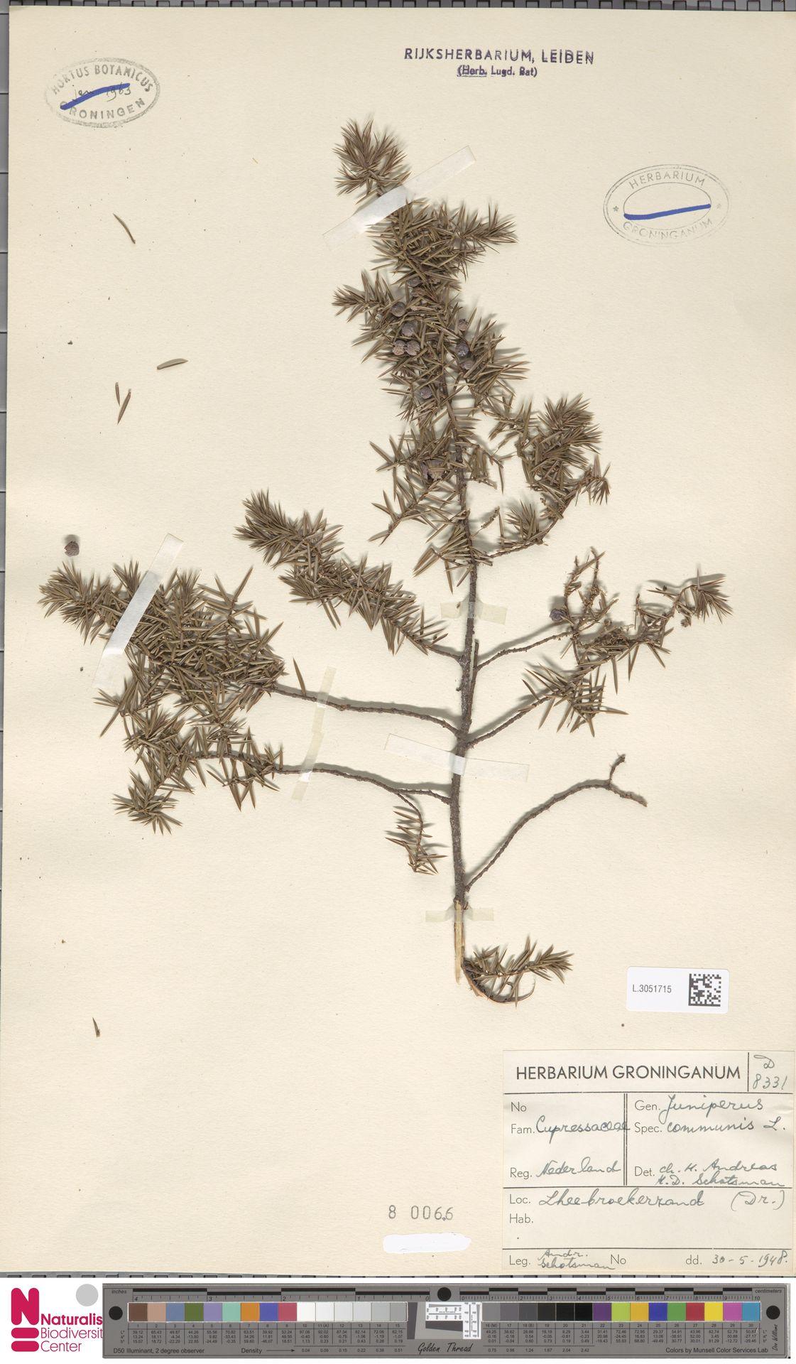 L.3051715 | Juniperus communis L.