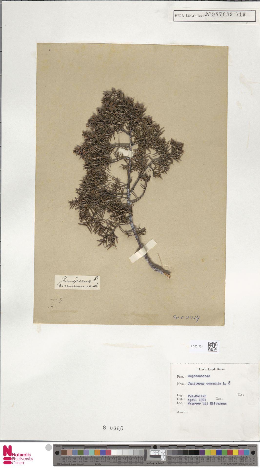 L.3051721 | Juniperus communis L.