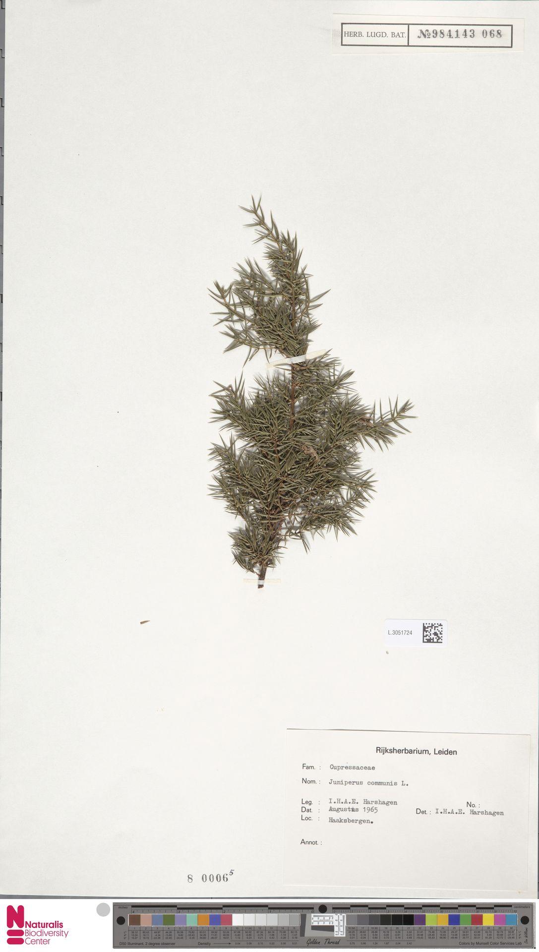 L.3051724 | Juniperus communis L.
