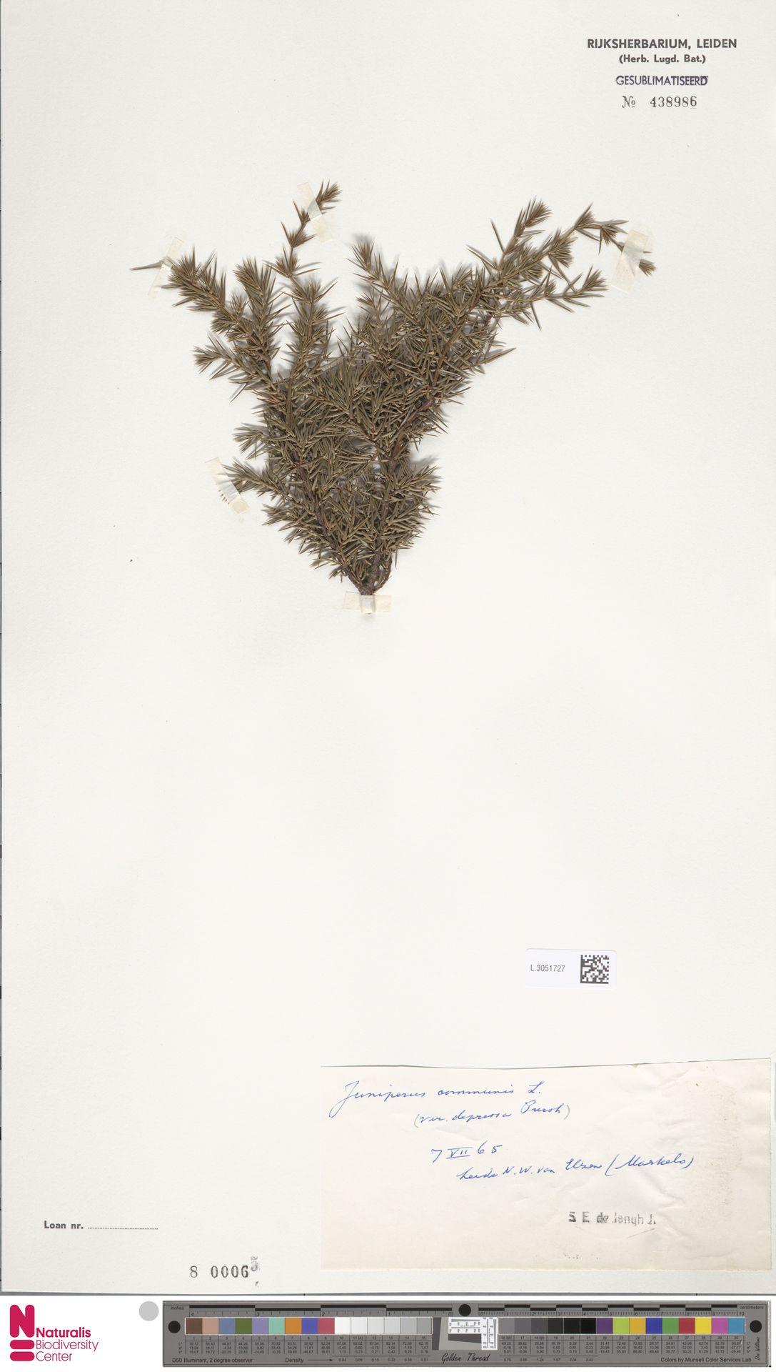 L.3051727 | Juniperus communis L.