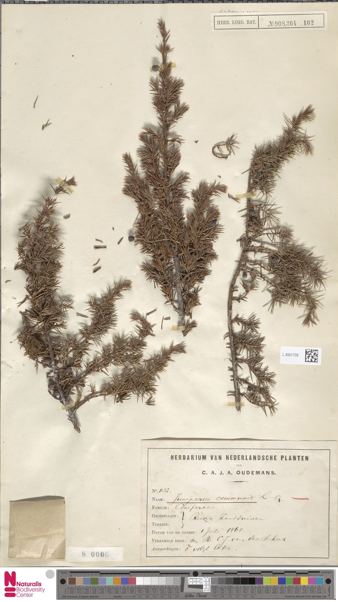 L.3051728   Juniperus communis L.